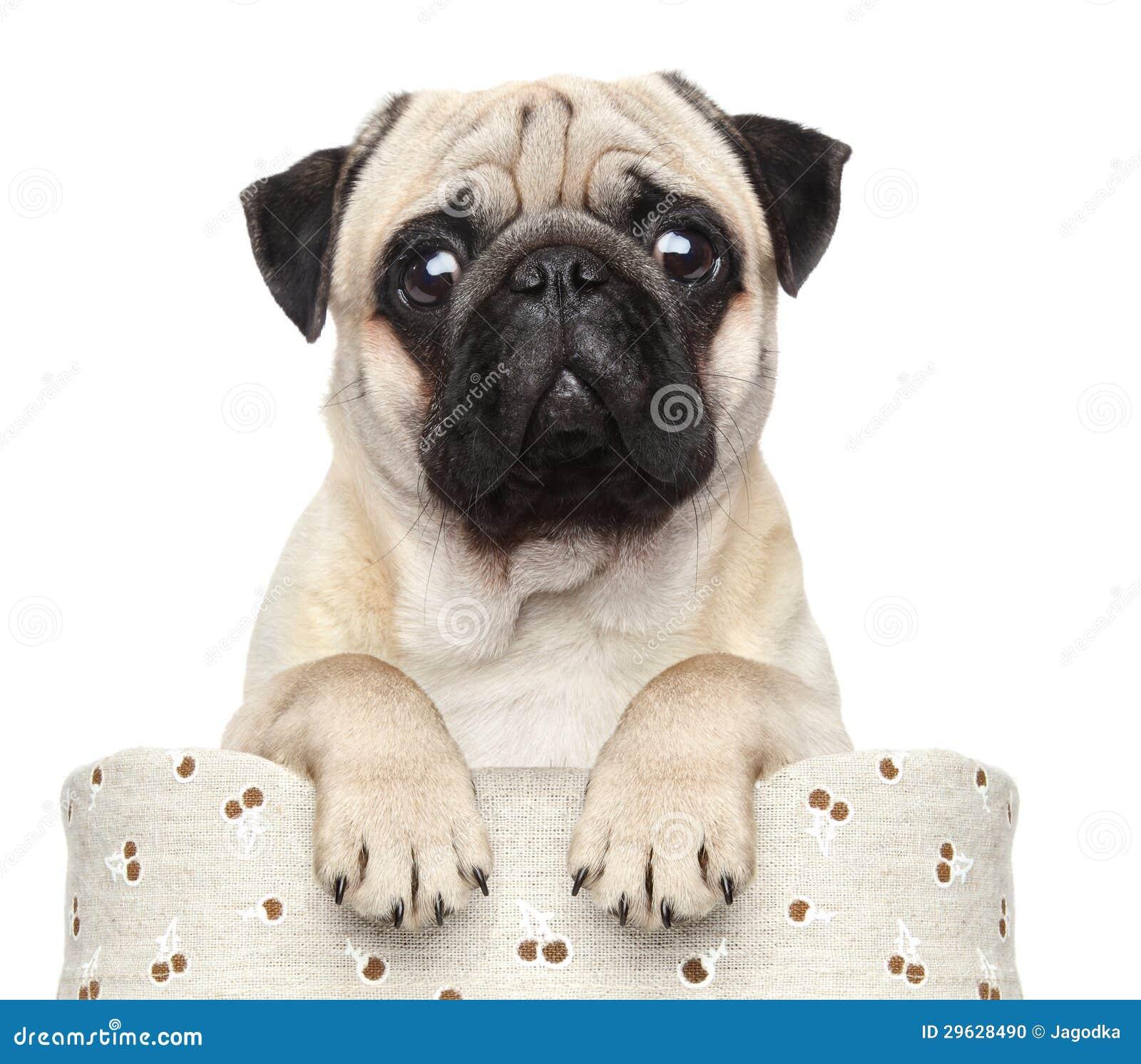 Pug im Korb