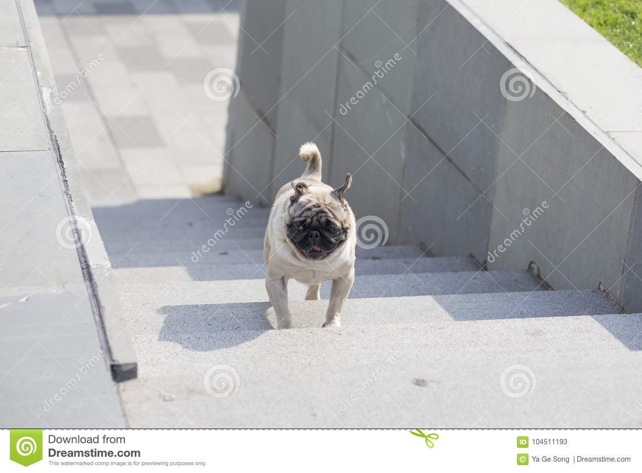 A Pug Stock Image Image Of Small Dogs Eyes Lawn 104511193