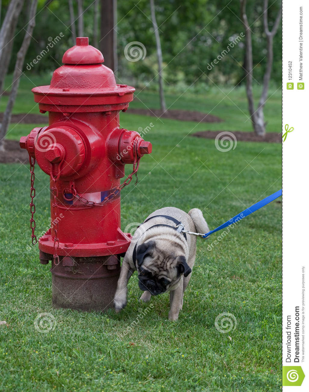 Dog Peeing On Fire Hydrant Pictures
