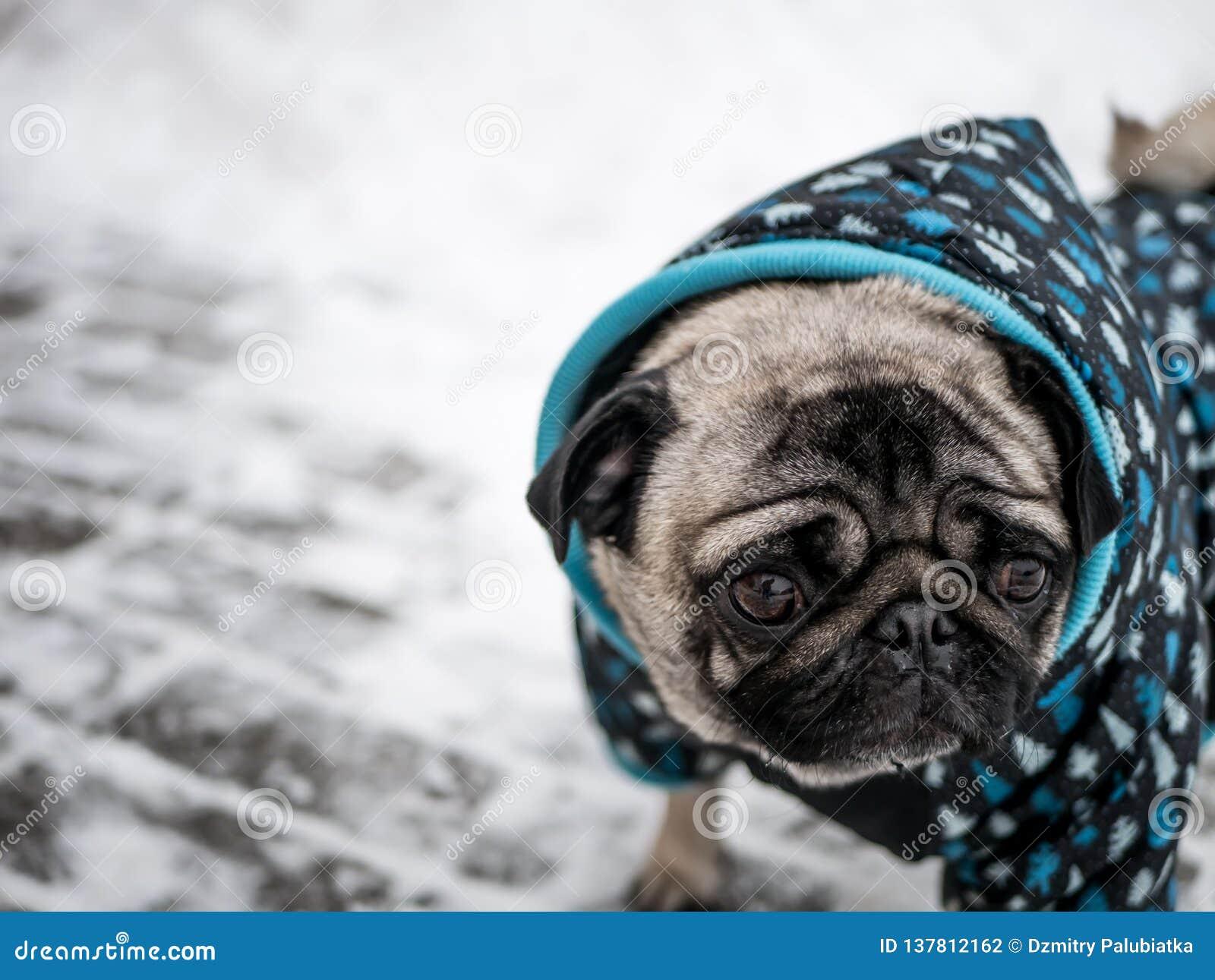 Pug pequeno do cão no revestimento Cão bonito
