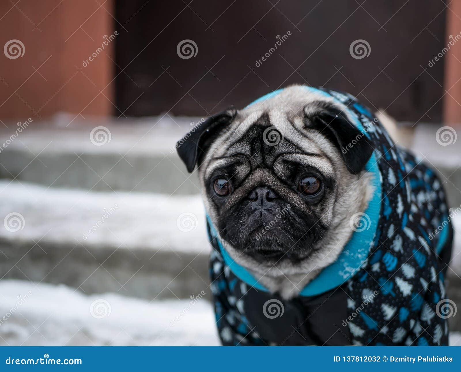 Pug pequeno do cão no revestimento Cão encantador
