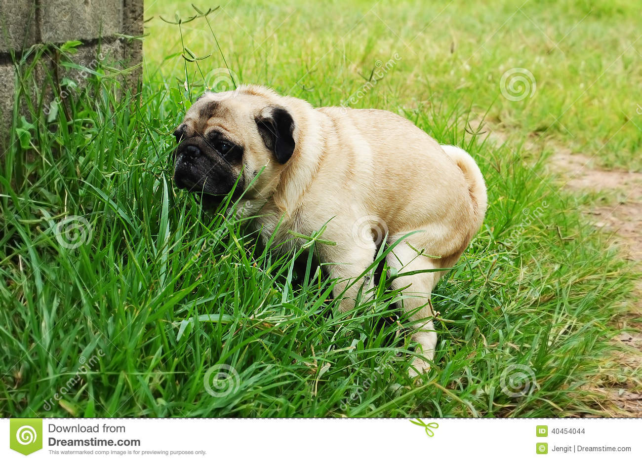 pug pooping pug poo stock photo image of tongue relief vertebrate 40454044 6373