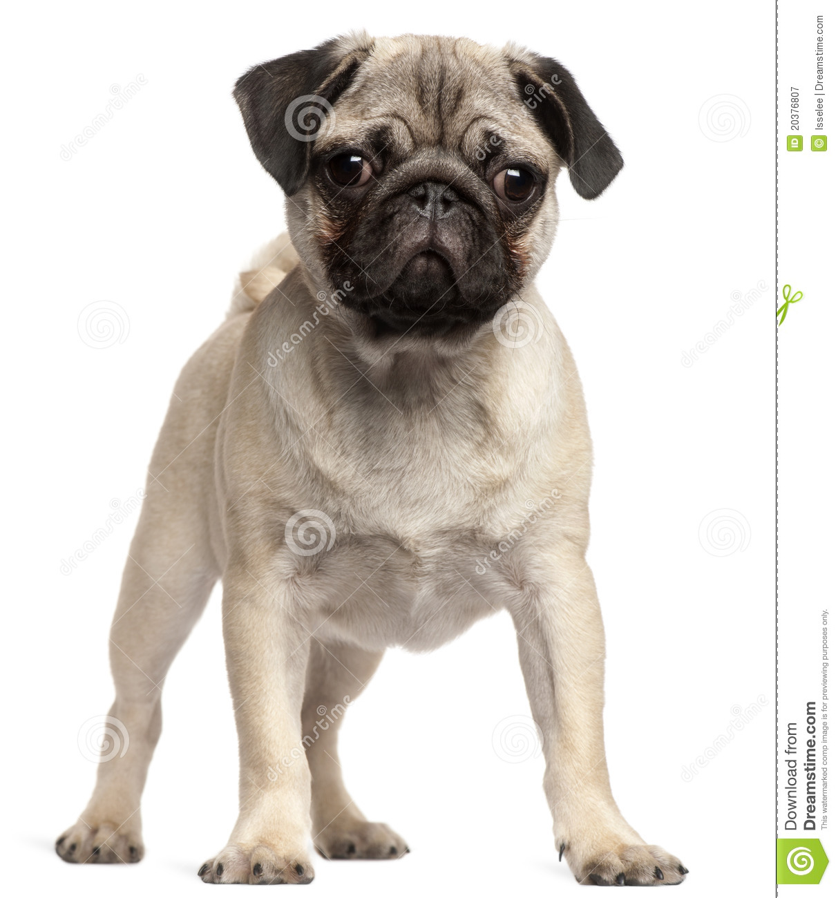 Pug Puppy, 3 Months Old, Standing Royalty Free Stock ...