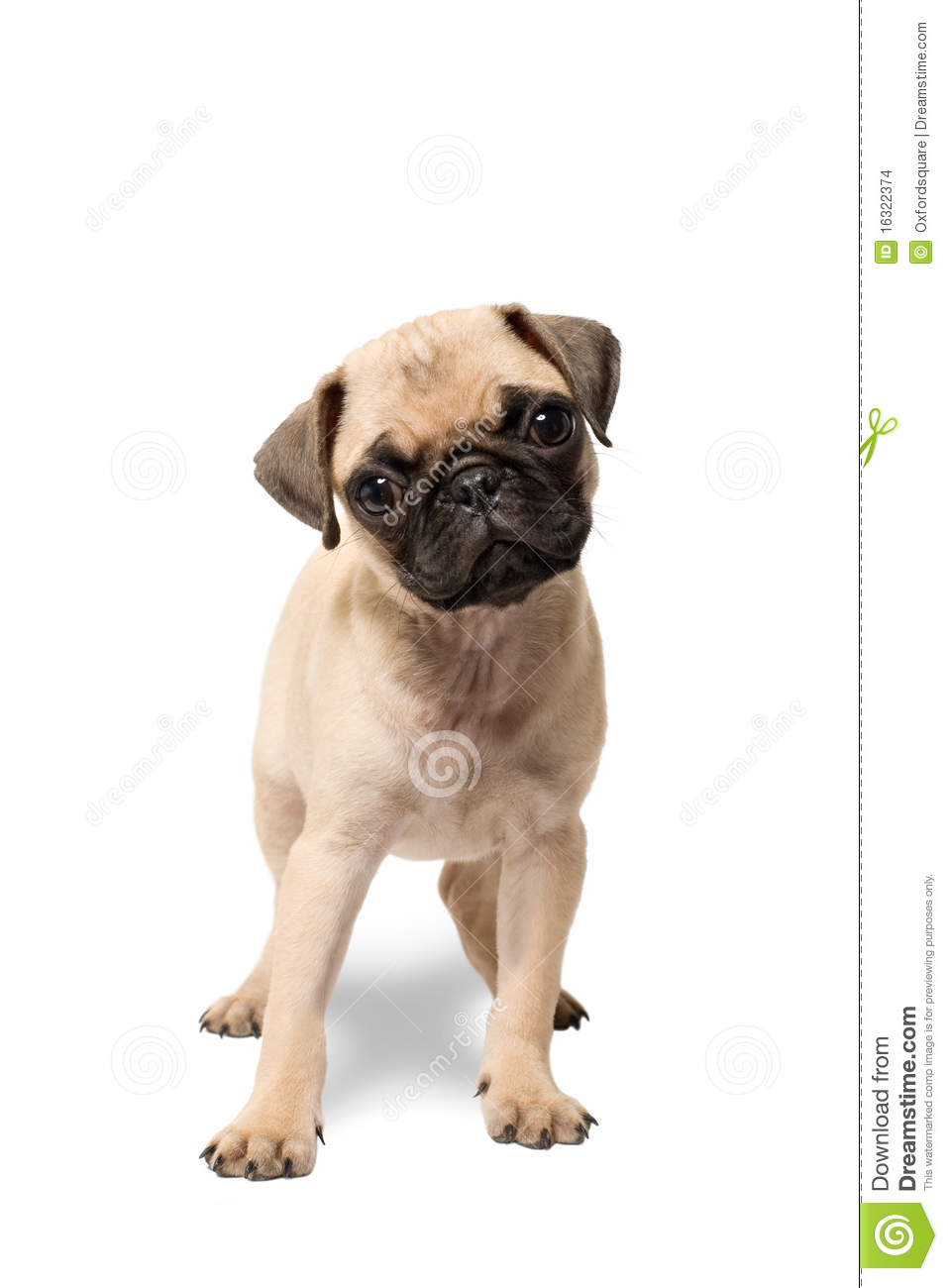 Pug Puppy Dog Standing Stock Images - Image: 16322374