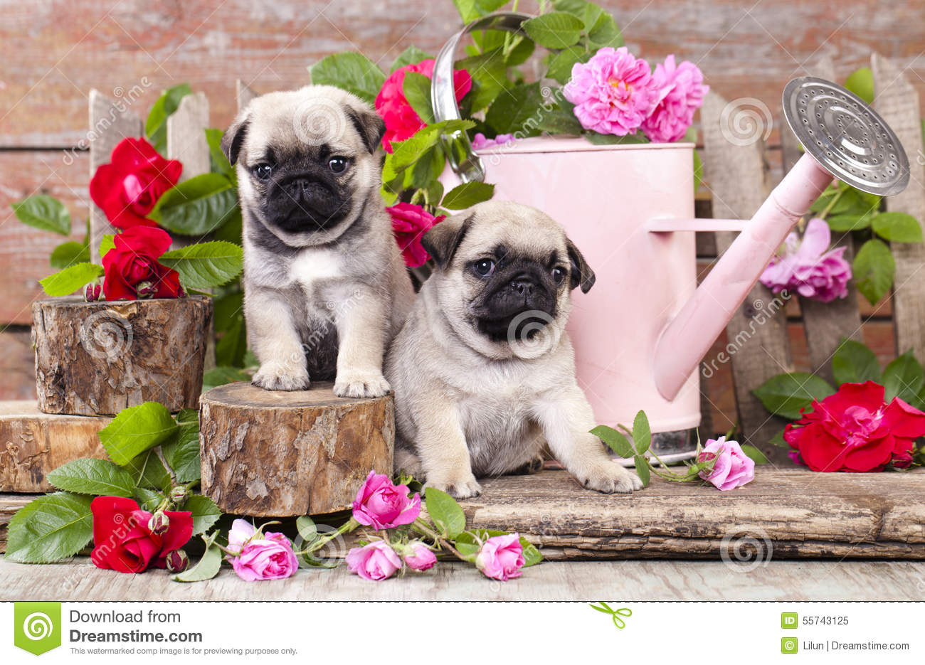 Pink Pug Dog Breed