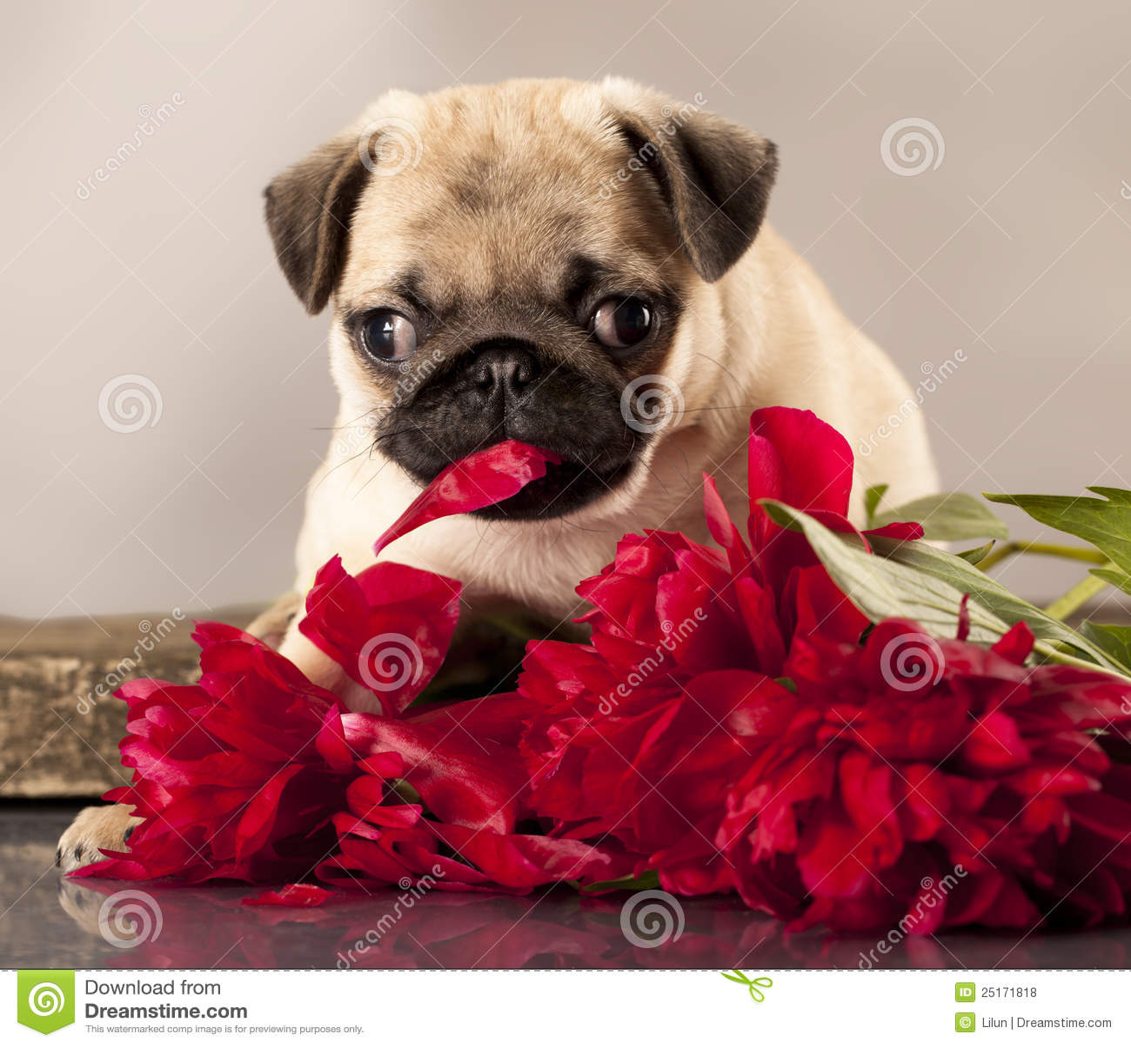 Dog Vector Brown Pug Free