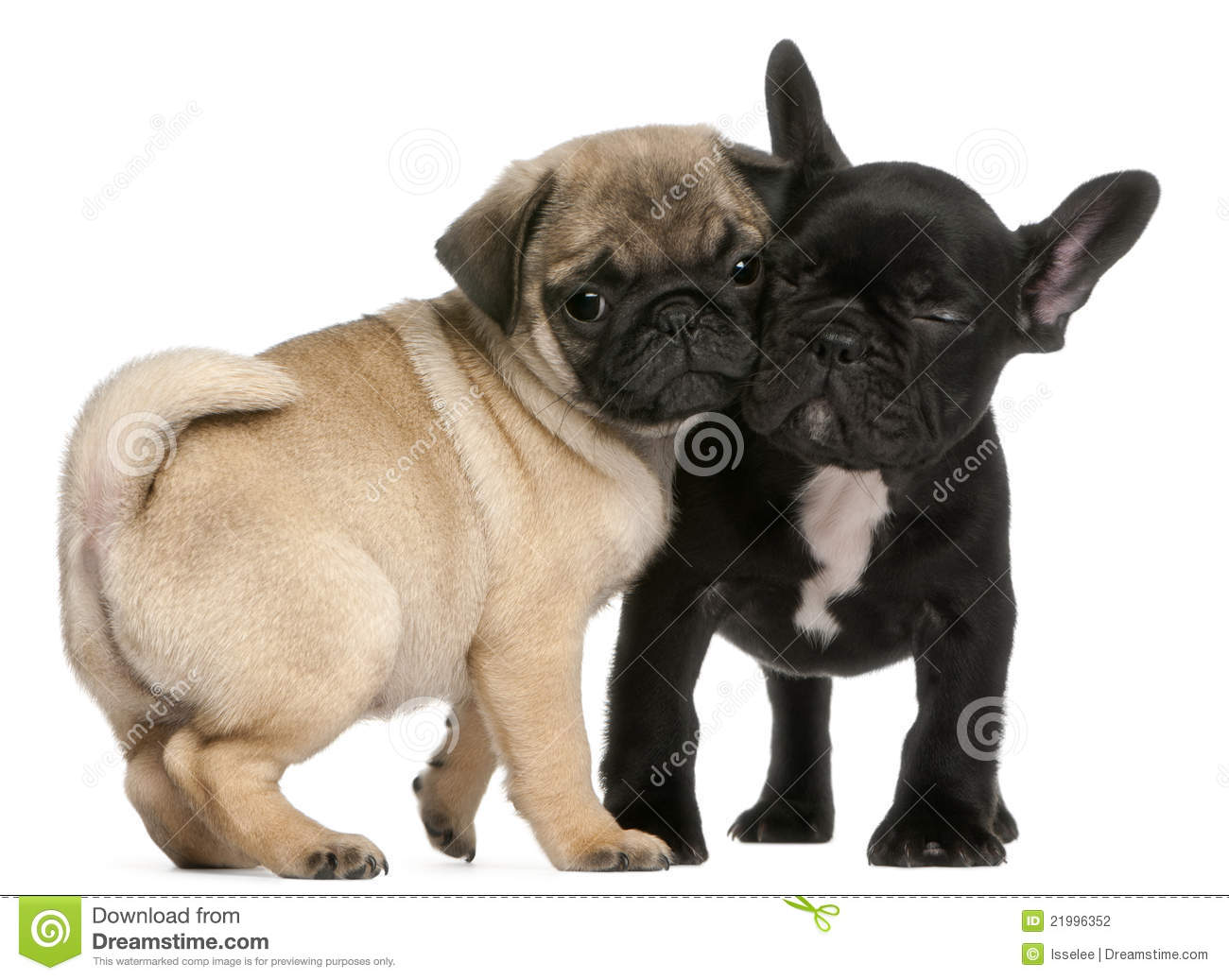 Black French Bulldog and Pug Puppies