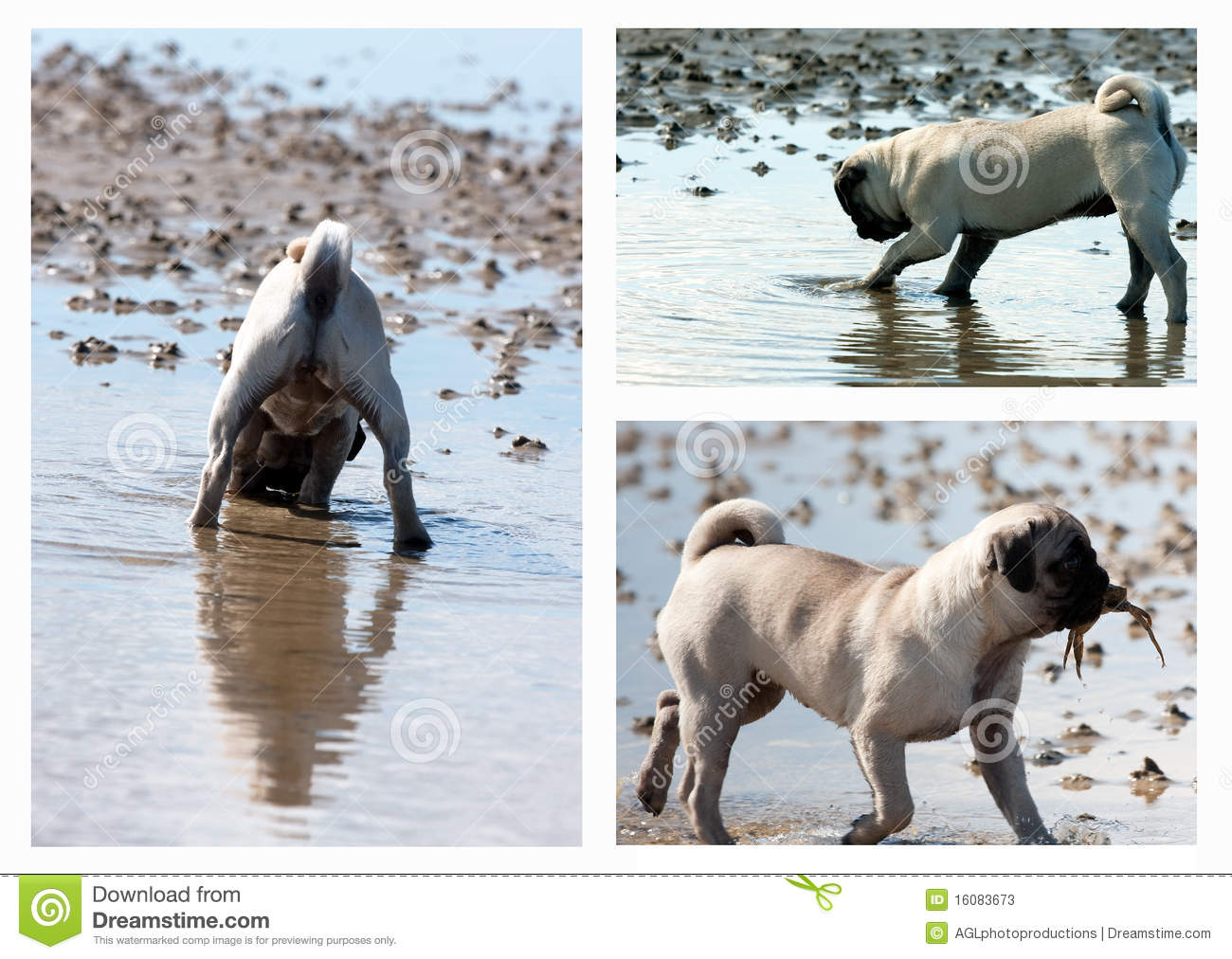 Pug Puppy Hunting Collage Stock Image Image Of Cute 16083673