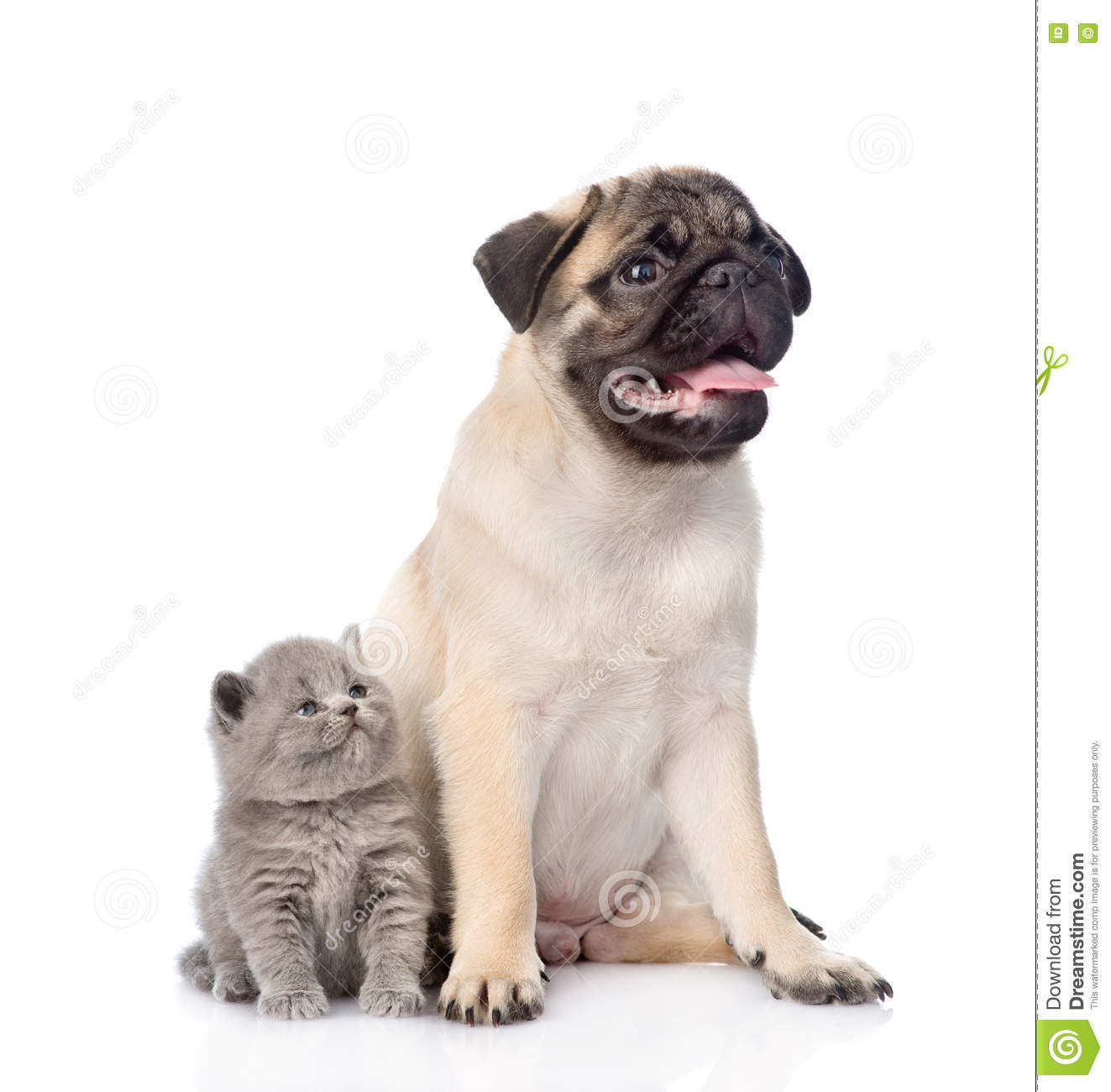 Pug Puppy Sitting With Tiny Scottish Cat Together Isolated On White