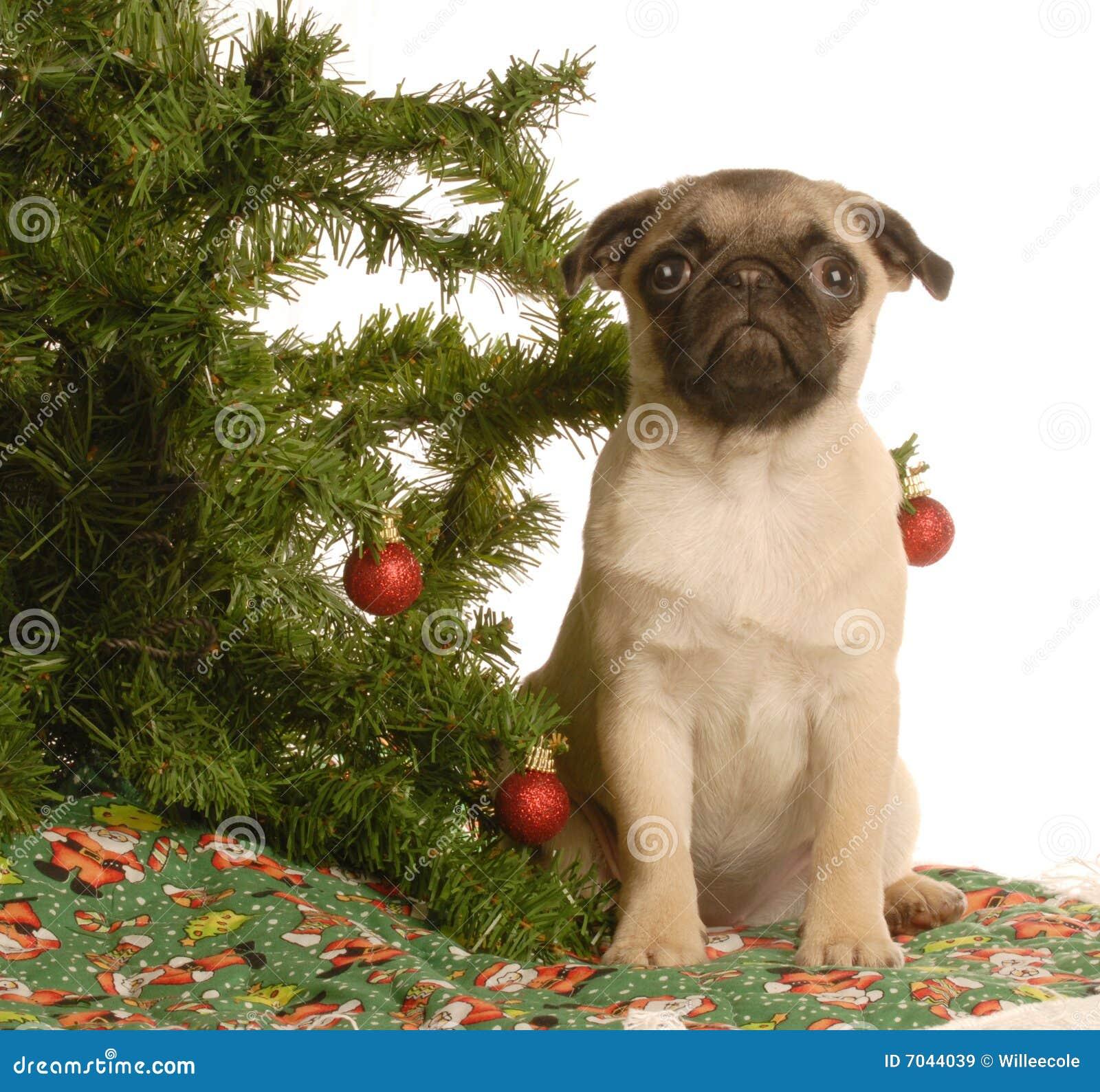 Pug Puppy Under Christmas Tree Stock Image Image Of Santa
