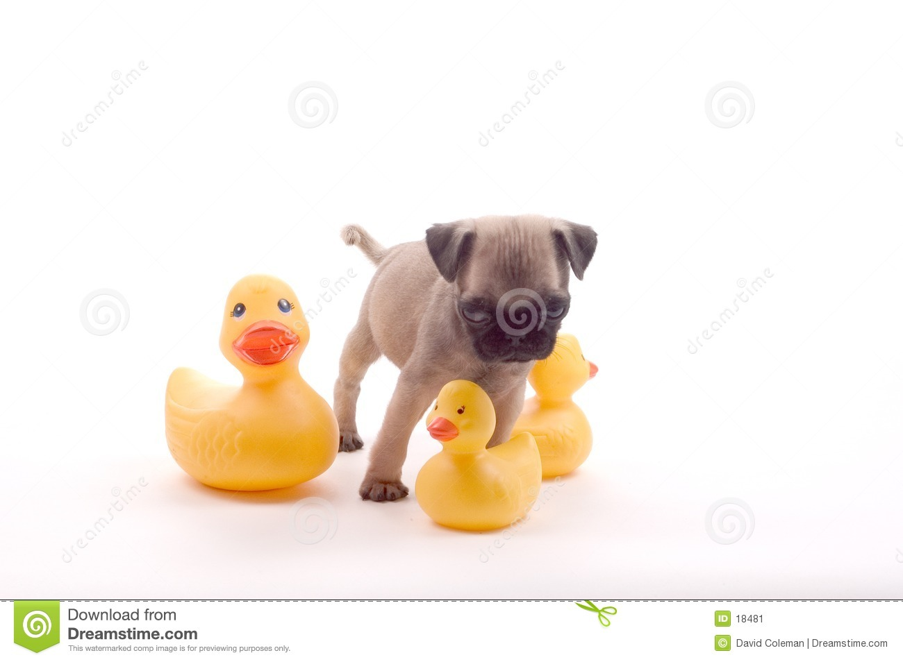Pug with Rubber Ducks