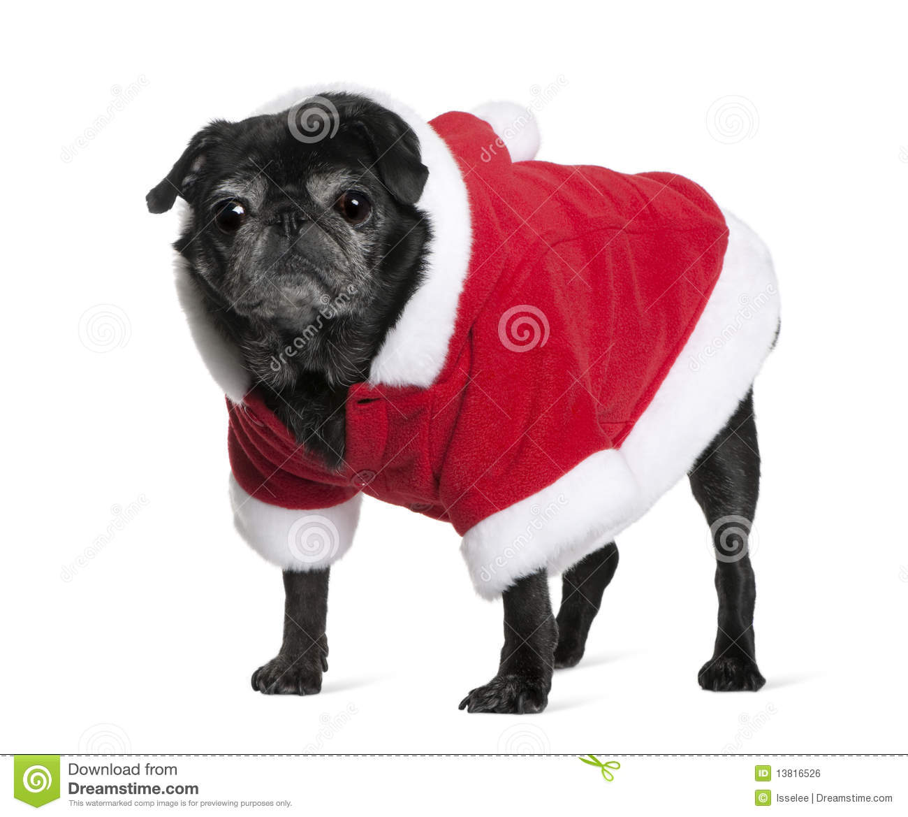 Pug Coat Colors http://www.dreamstime.com/royalty-free-stock-image-pug-santa-coat-10-years-old-image13816526