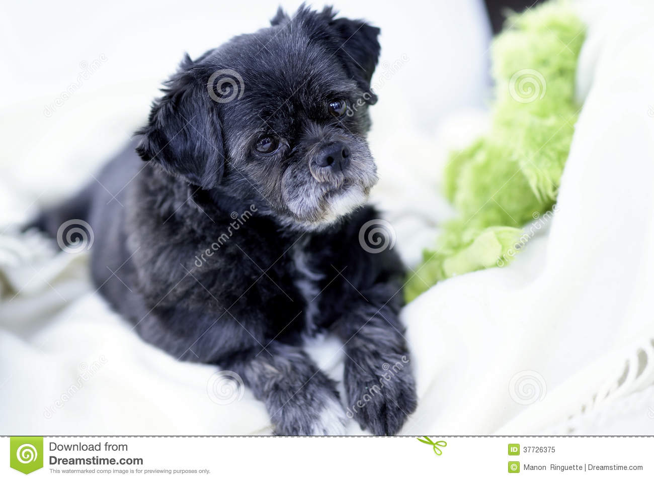 Pugshihtzu Mixed Breed On White Blanket Stock Image Image Of