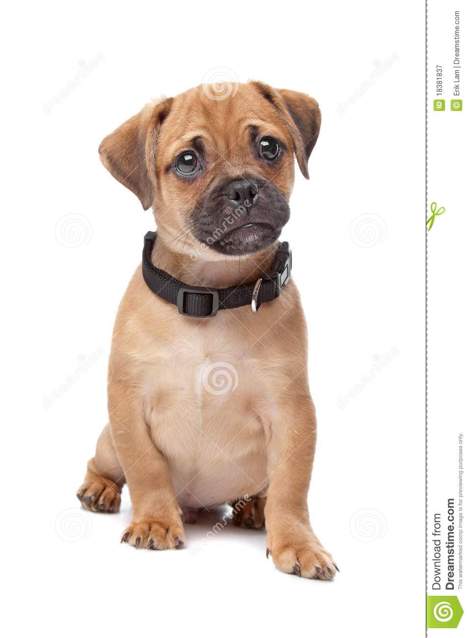 Fabelhaft Pug Spaniel mix breed dog stock image. Image of charles - 18381837 #LP_17