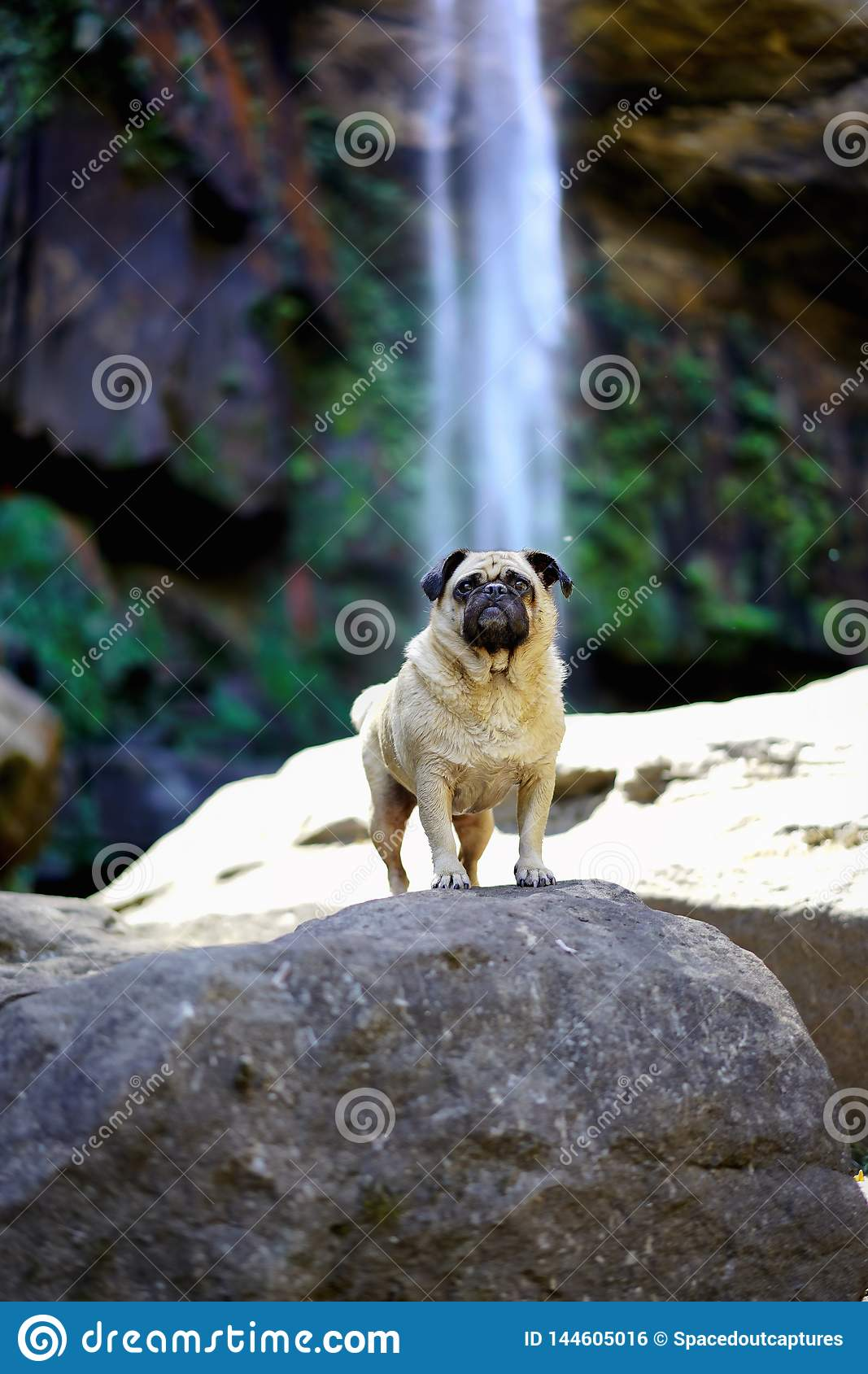 Pug standing infront of a waterfall