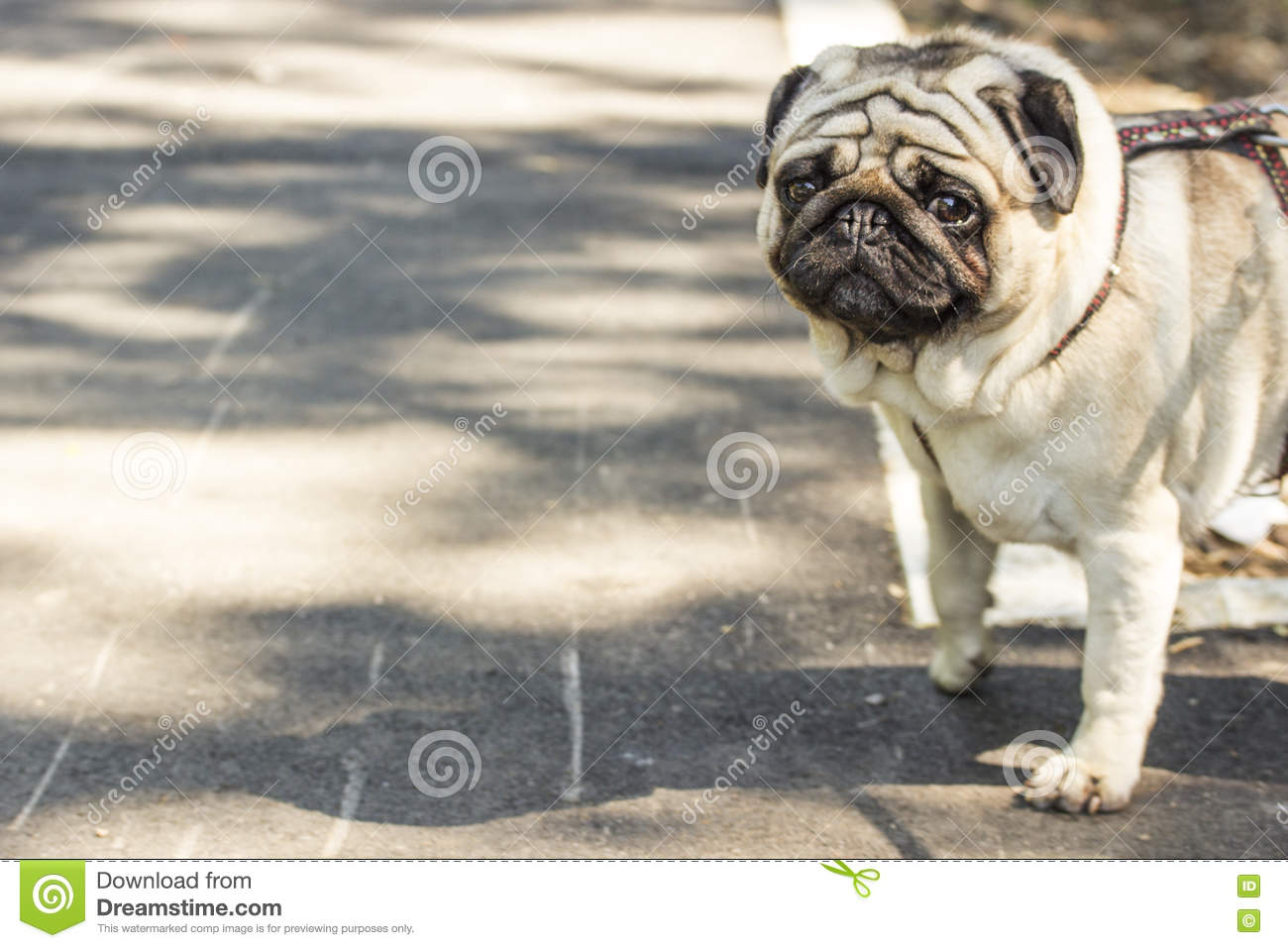 pug wallpaper stock image. image of wooden, happy, background - 72105857