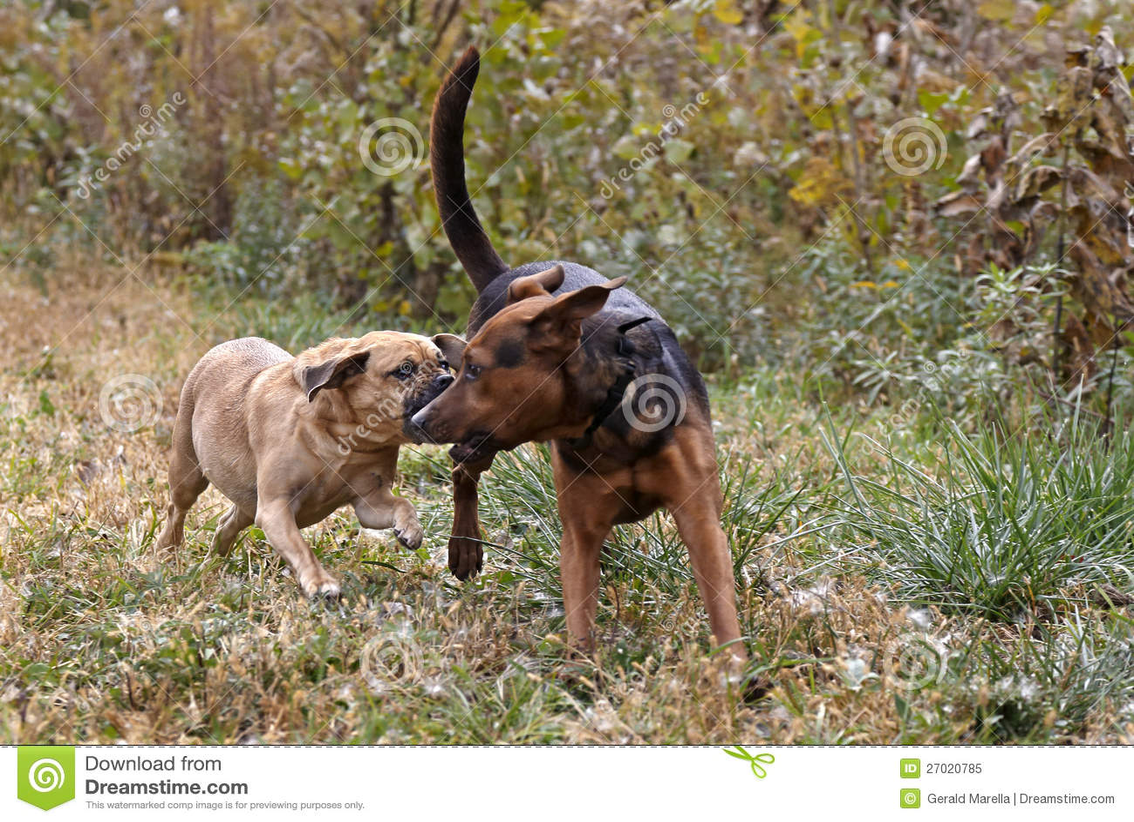 ... boxer puppies boxer lab mix breeds boxer pitbull mix breeds boxer