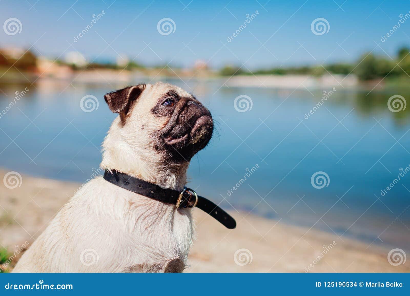 Pughund, der durch Fluss sitzt Glücklicher Welpe, der einen Befehl des Meisters wartet Hund, der draußen kühlt