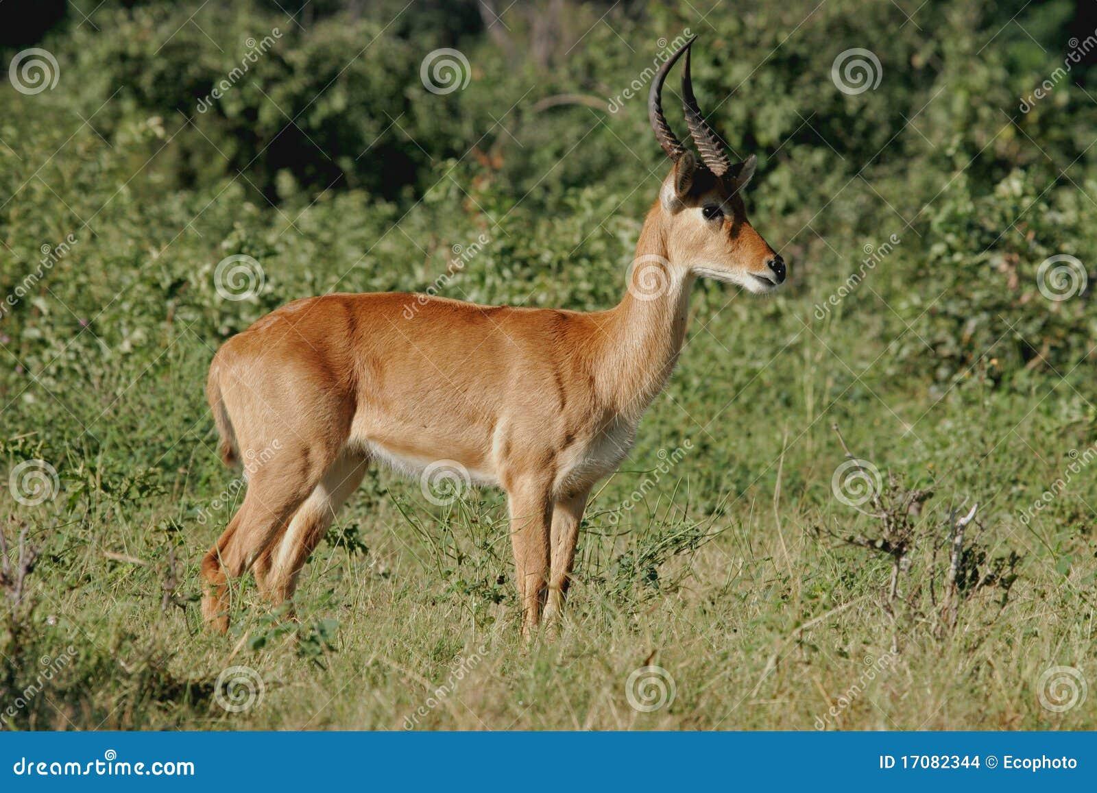 Puku антилопы