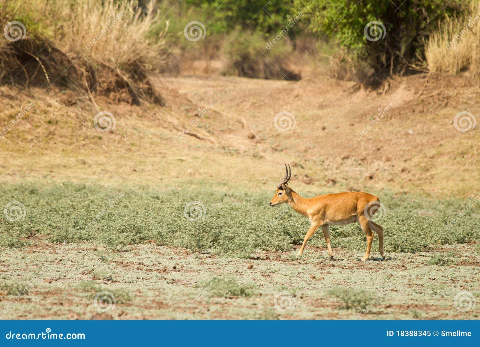 Puku gazelle