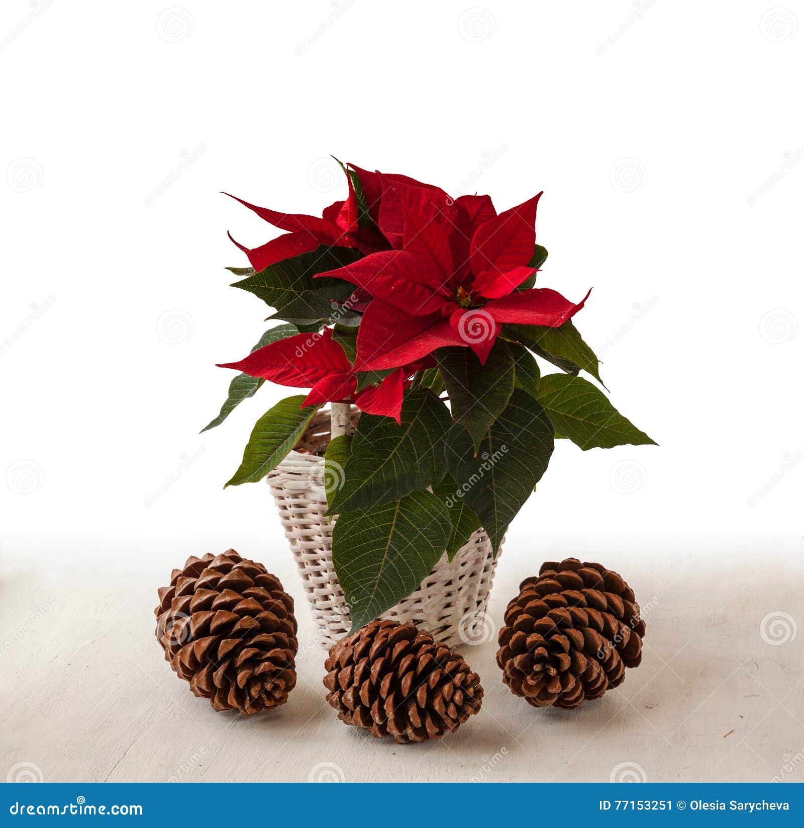 Pulcherrima rouge d euphorbe de poinsettia et trois cônes de pin