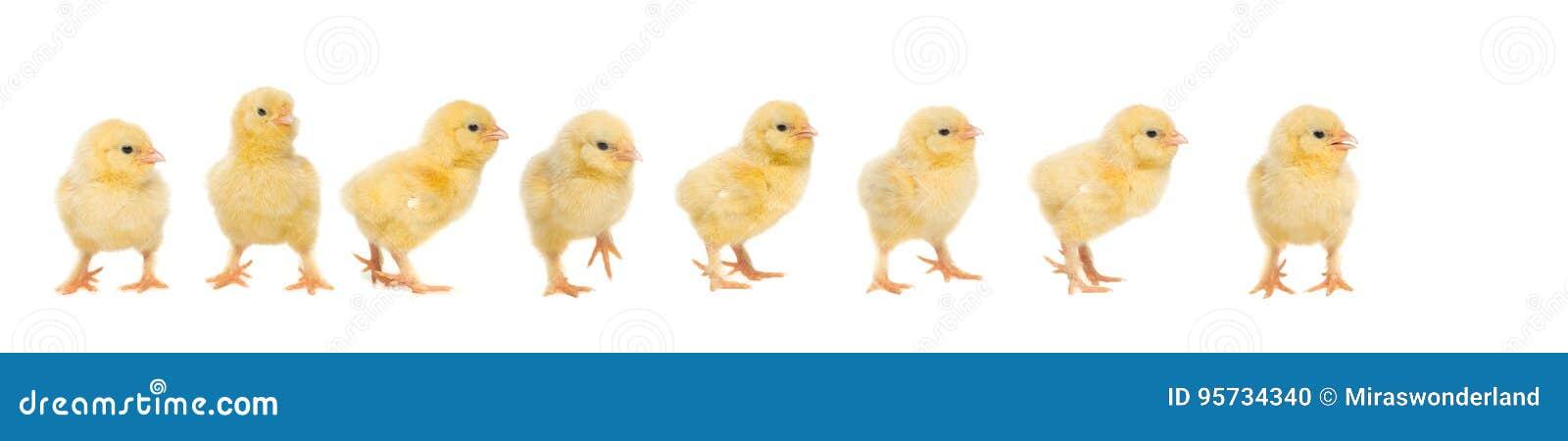 Pulcino giallo del bambino otto che cammina dietro a vicenda