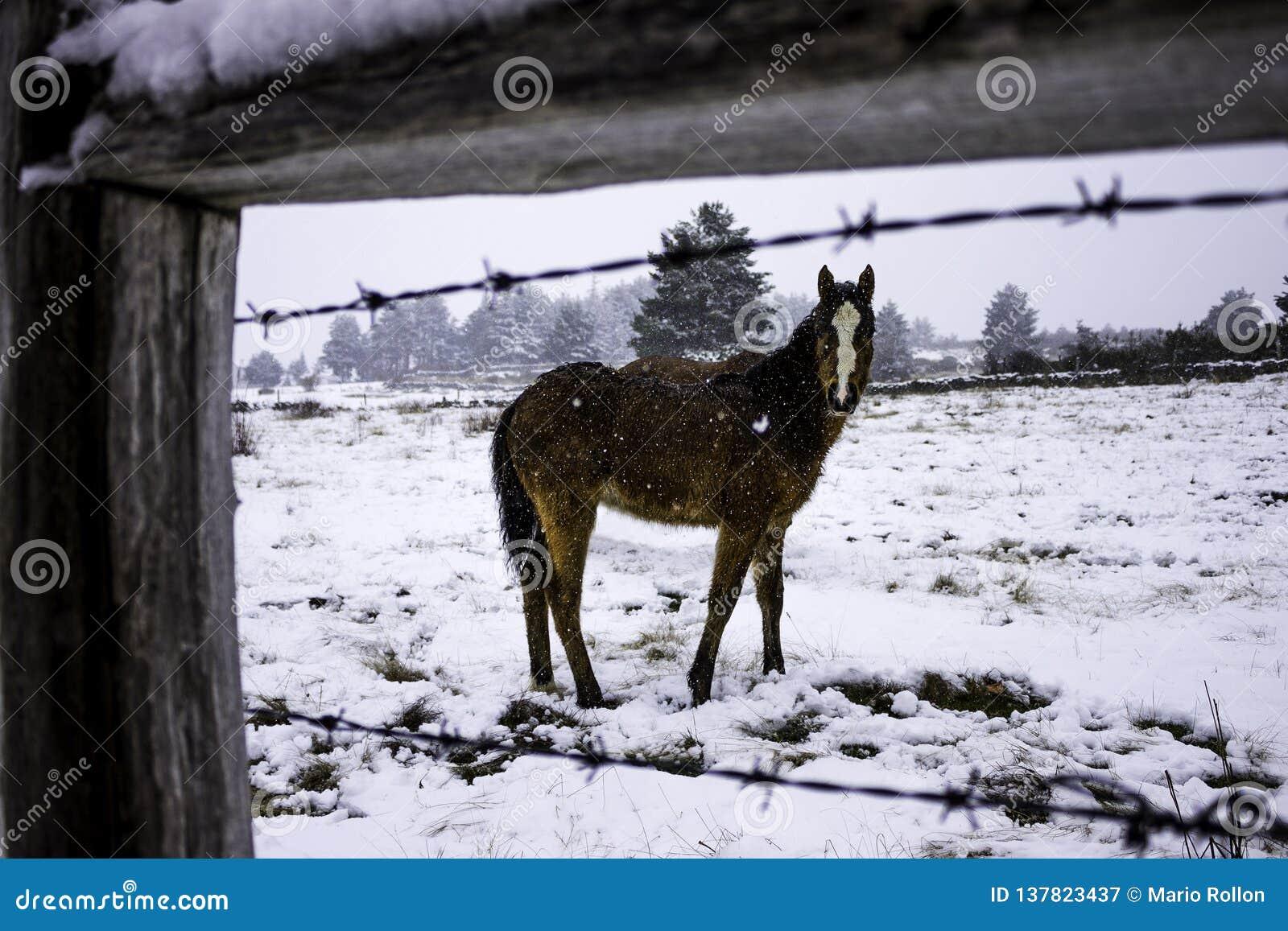 Puledro del cavallo nella neve