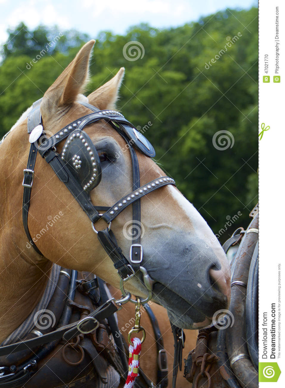 Between Pulls Stock Photo Image Of Draft Studs Harnessed 47021770