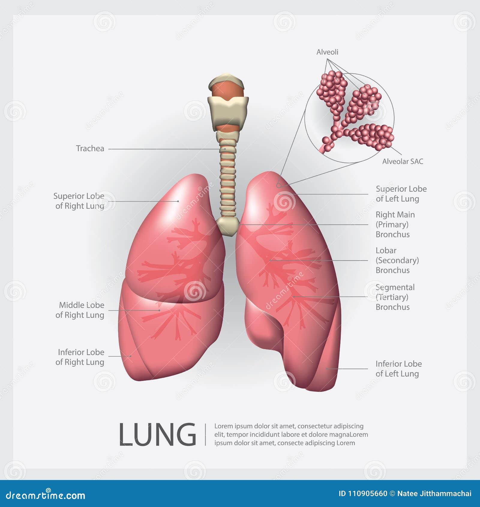 Pulmão com detalhe