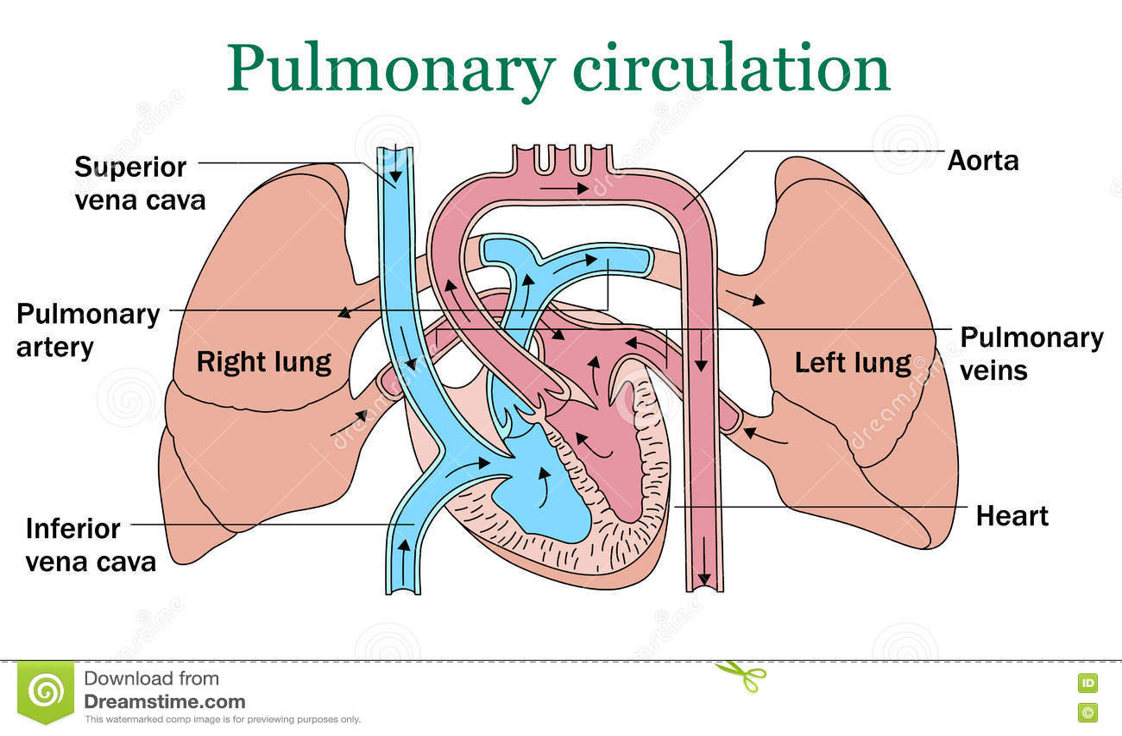 Pulmonary Circulation Vector Stock Vector Illustration Of Atria