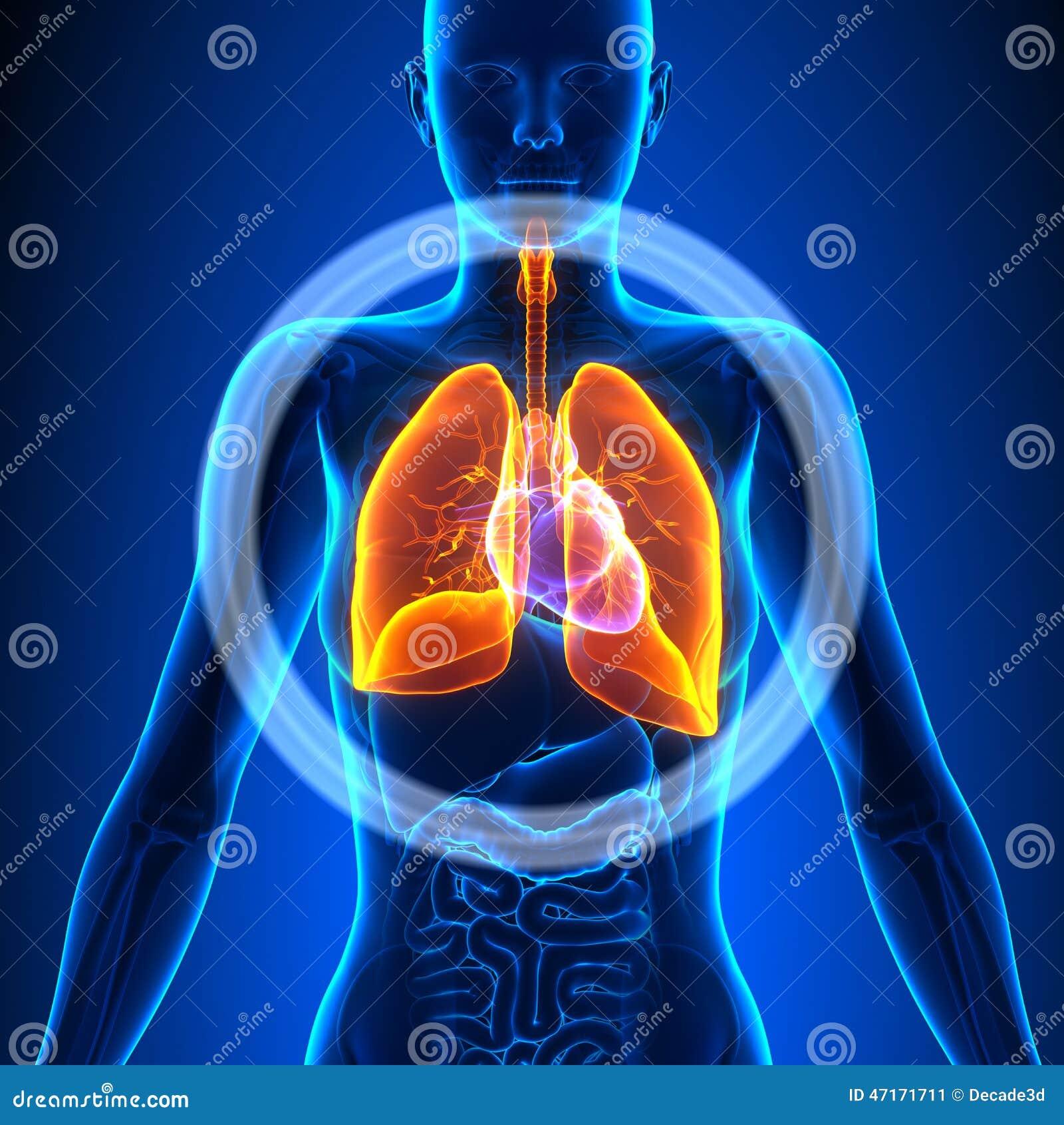 Pulmones - órganos Femeninos - Anatomía Humana Stock de ilustración ...