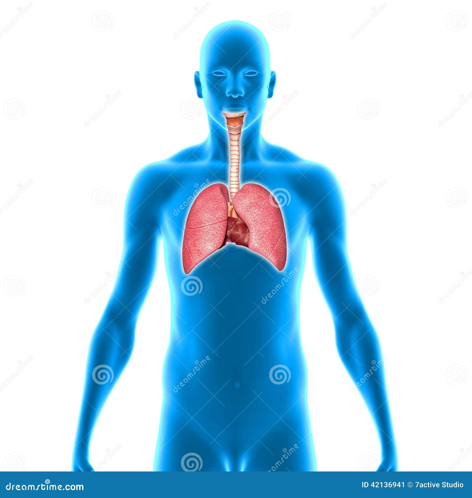 Pulmones stock de ilustración. Ilustración de nariz, anatomía - 42136941