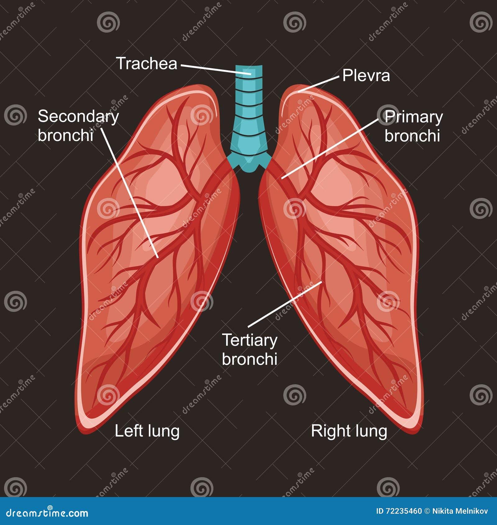 Pulmones ilustración del vector. Ilustración de diafragma - 72235460