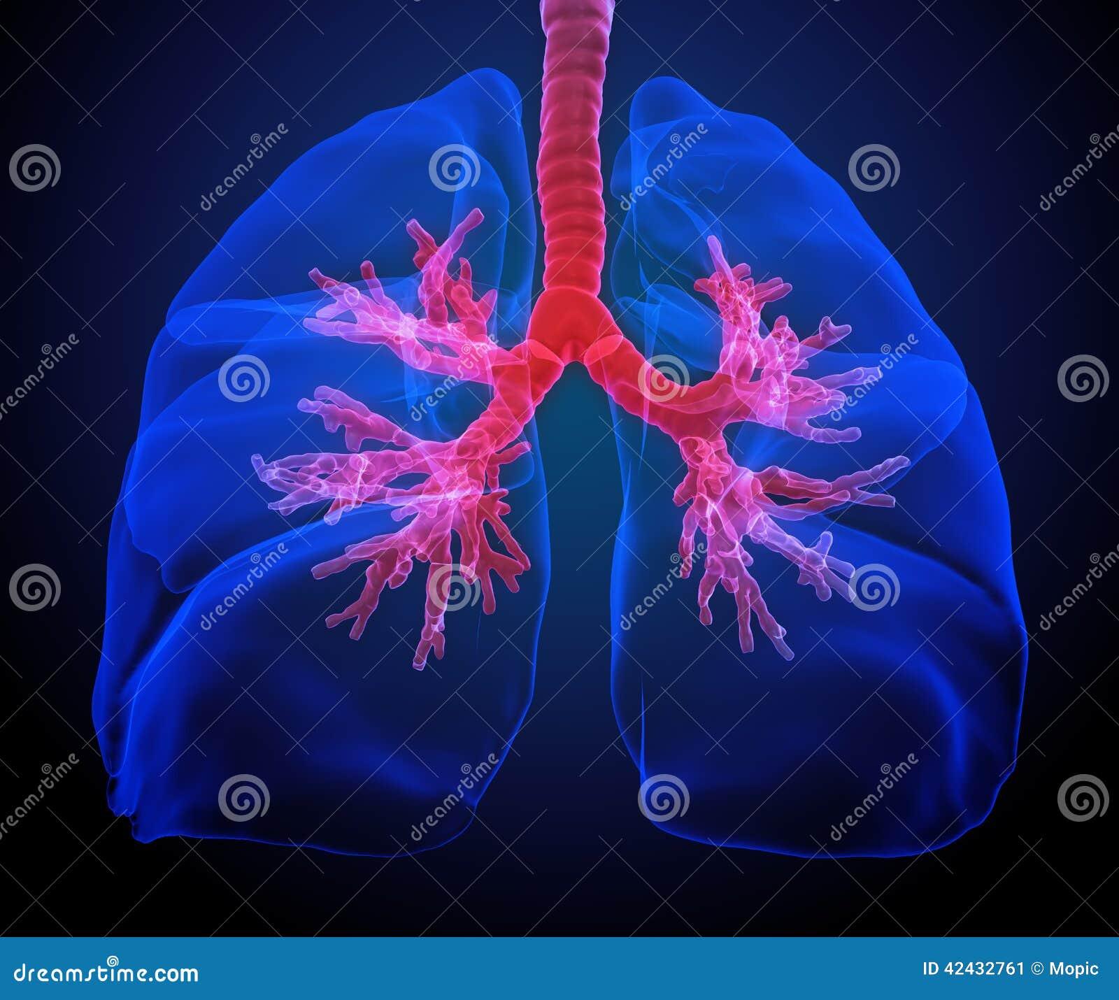 Pulmones con los bronquios visibles