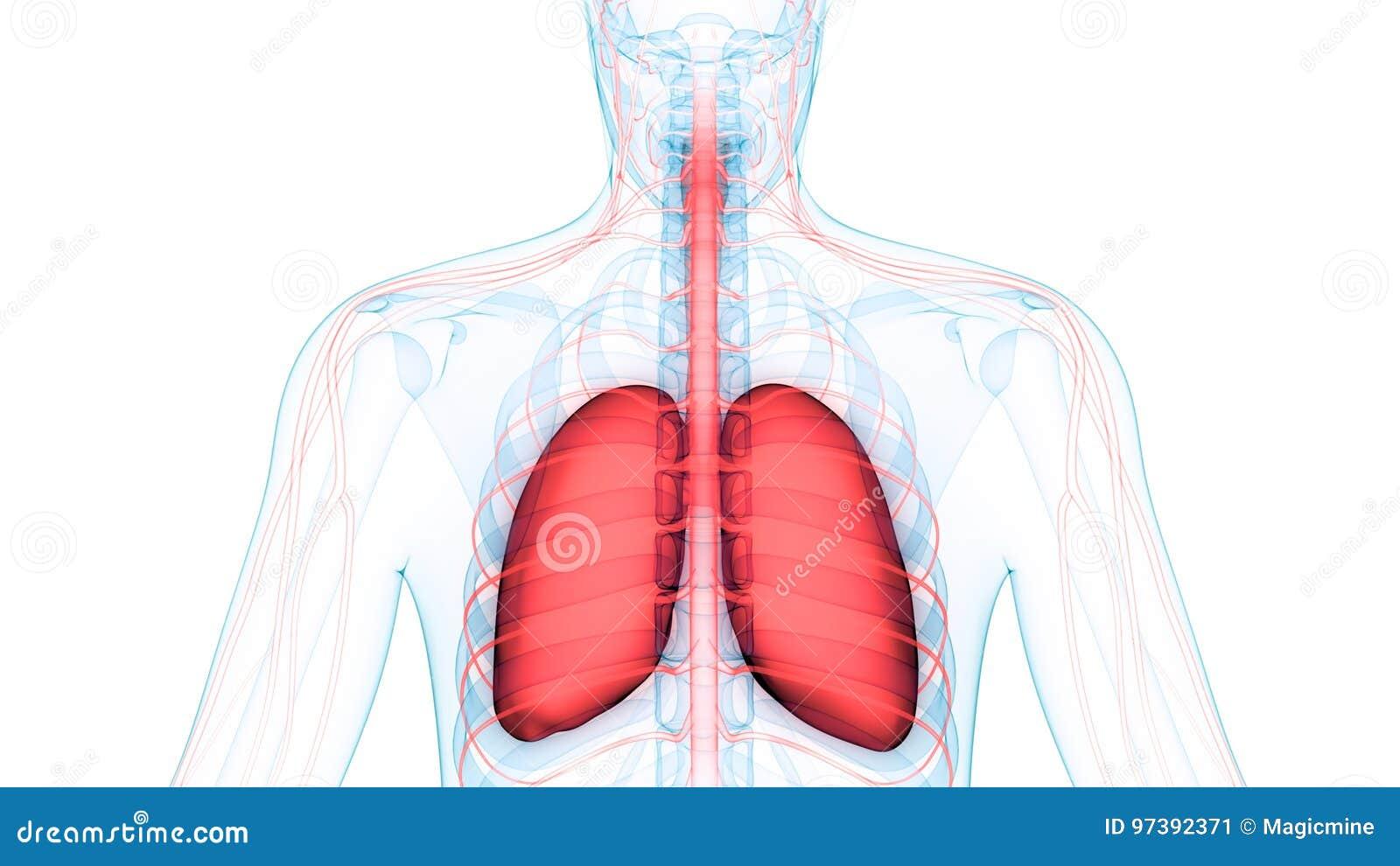 Pulmones De Los órganos Del Cuerpo Humano Con Anatomía Del Sistema ...
