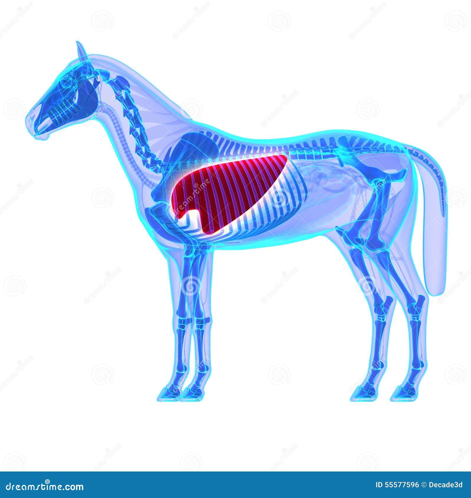 Pulmones Del Caballo - Anatomía Del Equus Del Caballo - Aislados En ...
