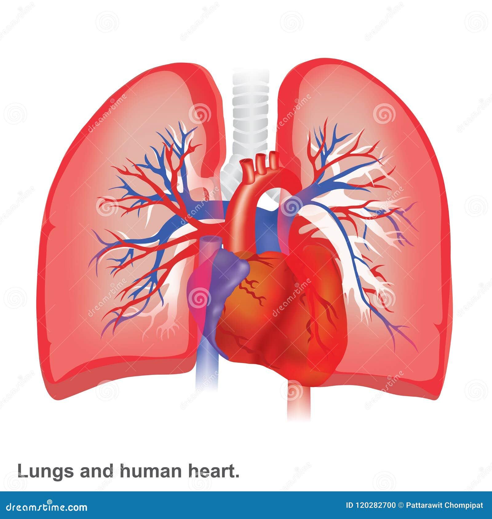 Pulmones Y Anatomía Humana Del Ejemplo Del Corazón Stock de ...