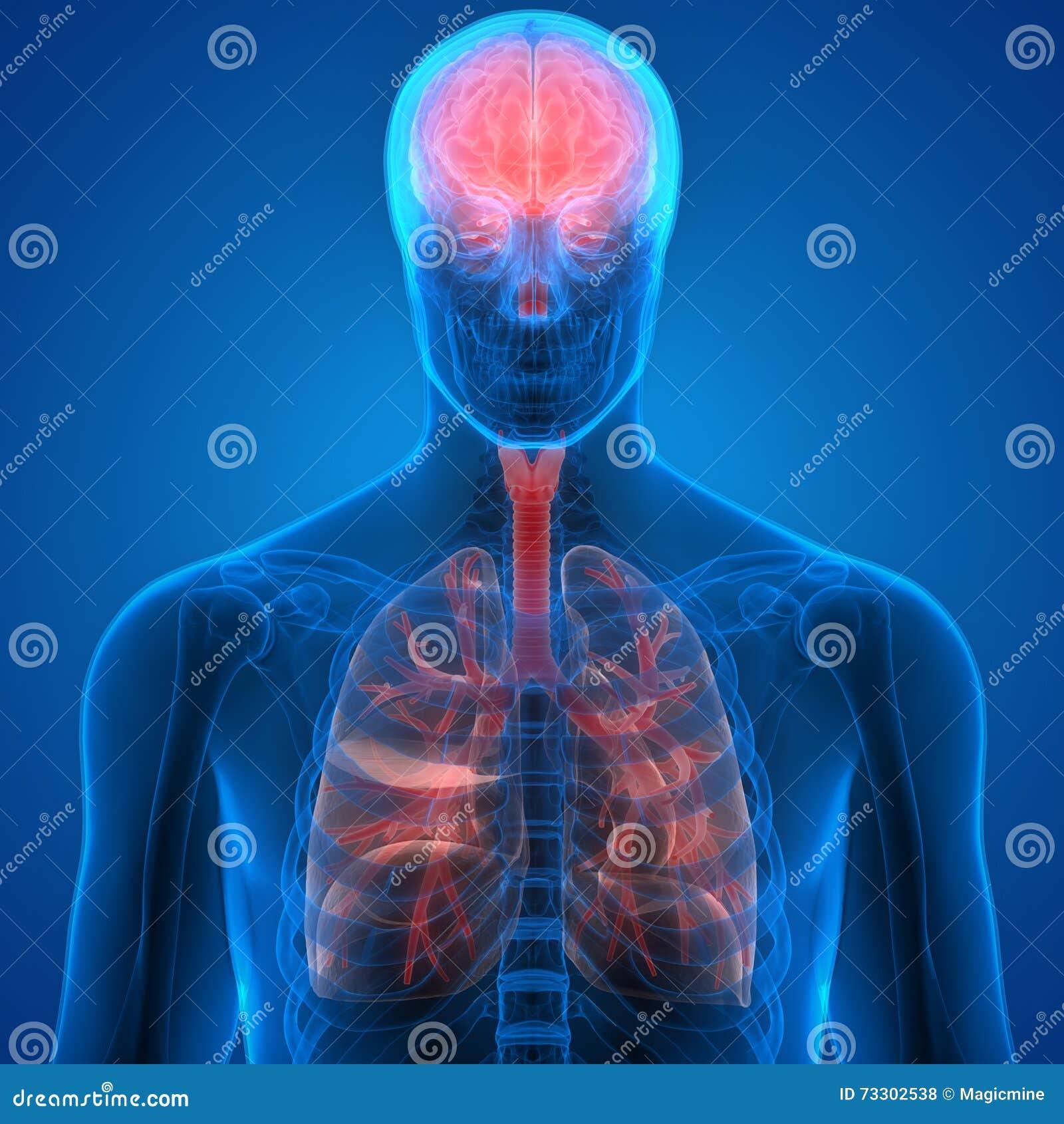 Excelente Diagrama De Colocación De órganos Humanos Regalo ...