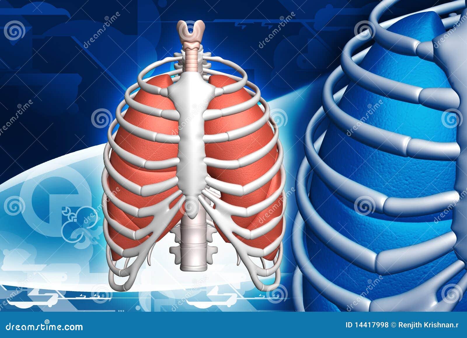 Pulmones Y Costilla Humanos Stock de ilustración - Ilustración de ...