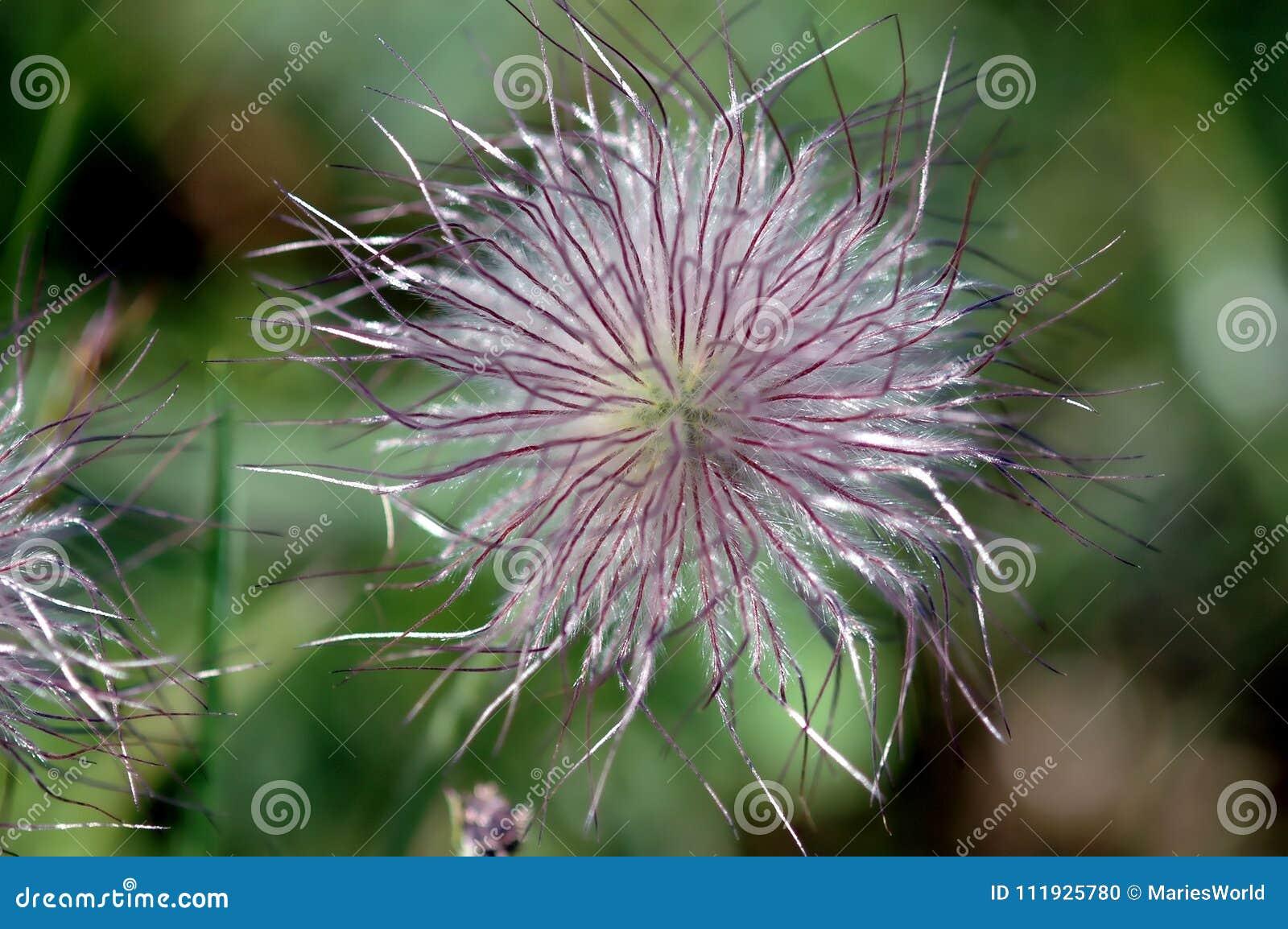 Pulsatilla, Łąkowy anemon, Pasqueflower z fiołkowymi ziarnami