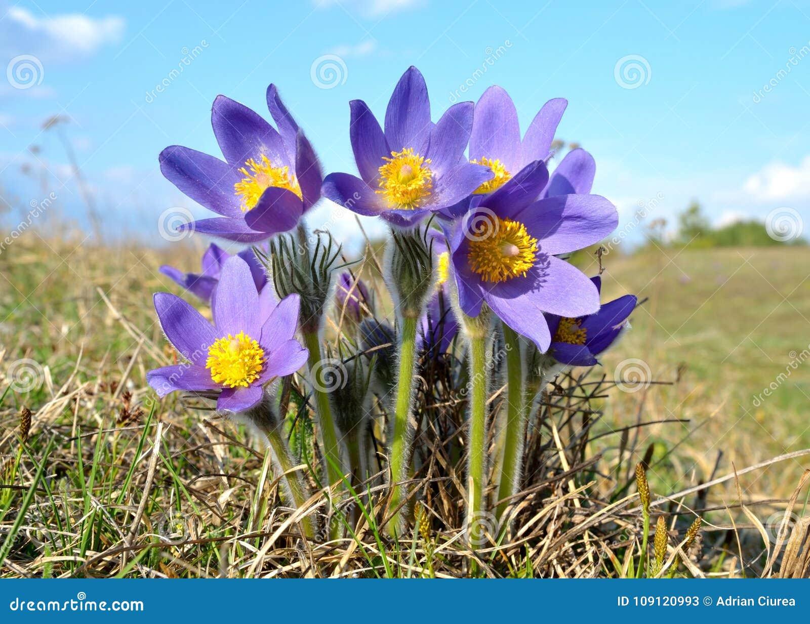 Pulsatilla Patens das flores