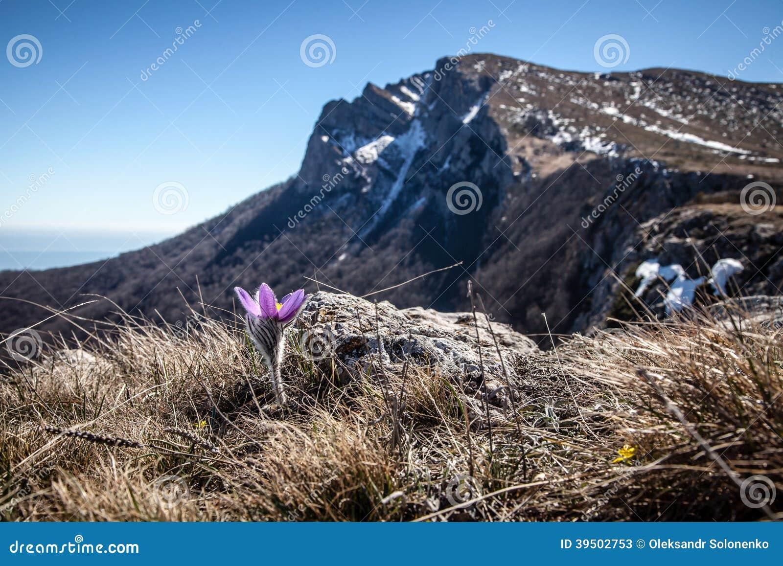 Pulsatilla vernalis in spring