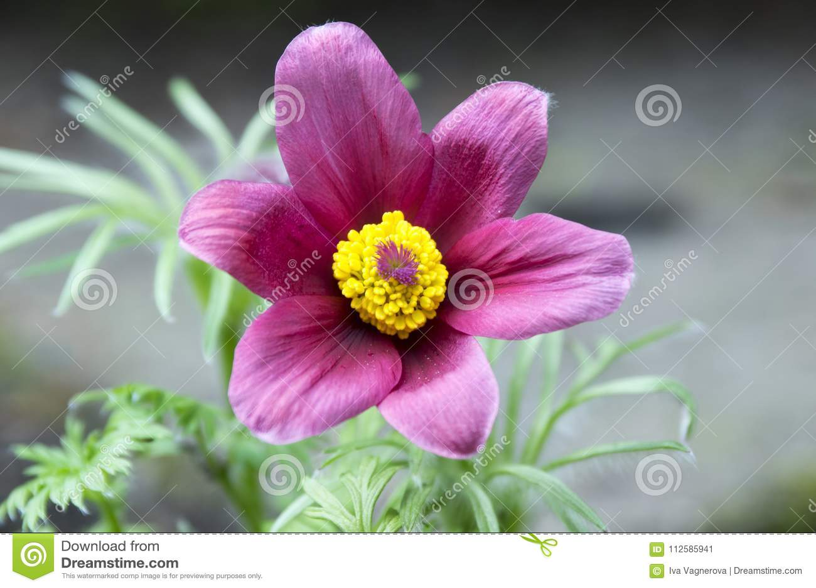 Pulsatilla Vulgaris Springtime Pink Purple Flower With Yellow
