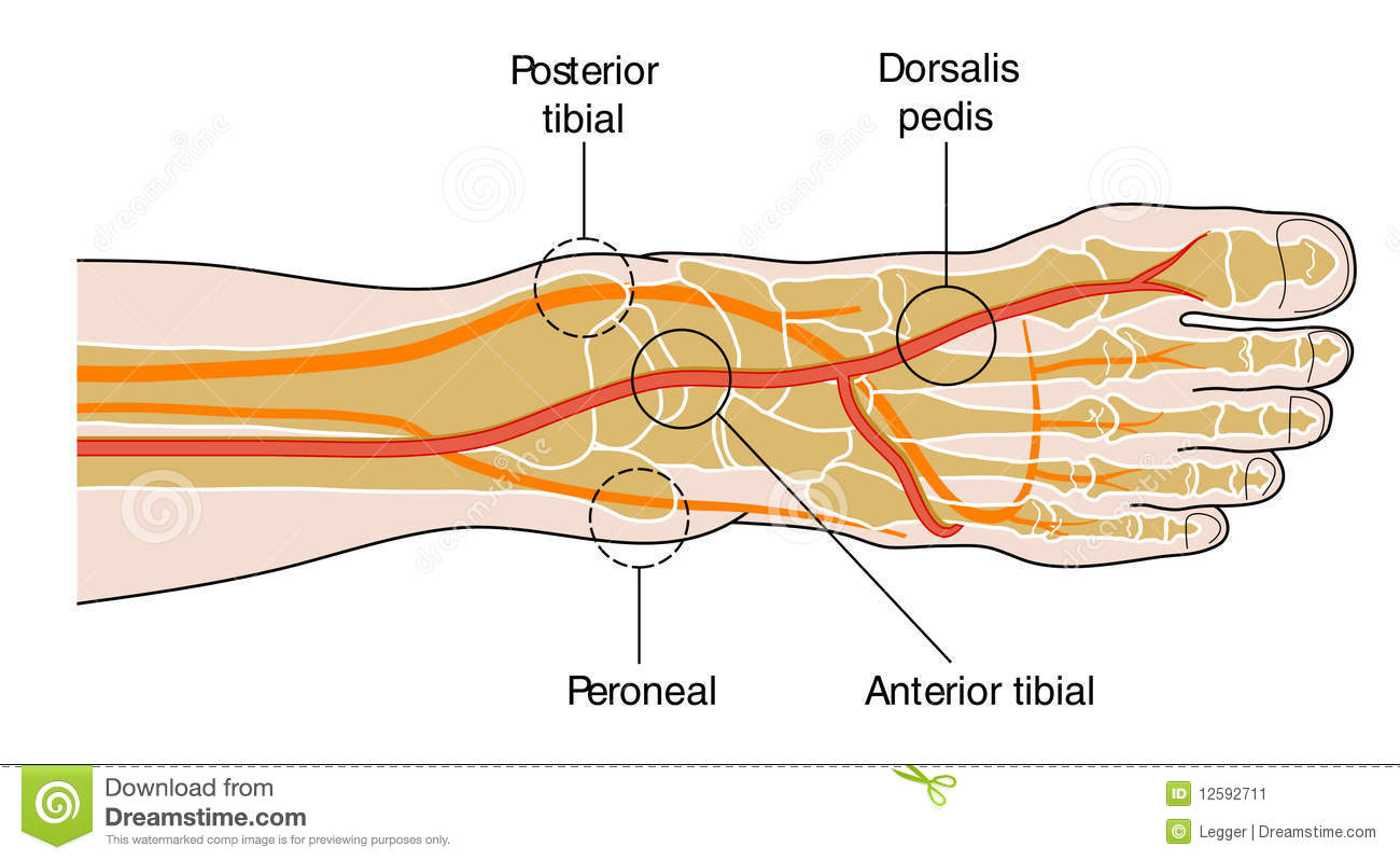Anterior Tibial Pulse image gallery