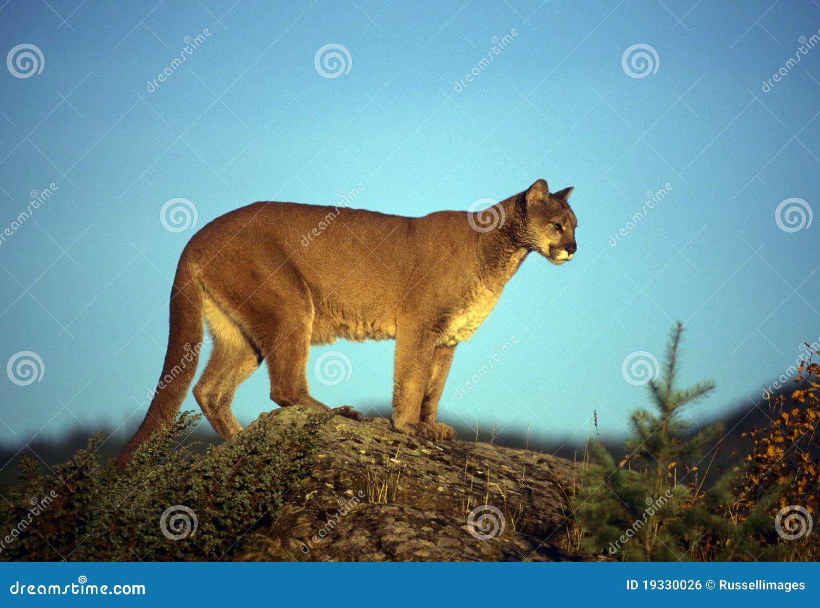 Puma adulte photo stock. Image du lion, faune, mammifère - 19330026