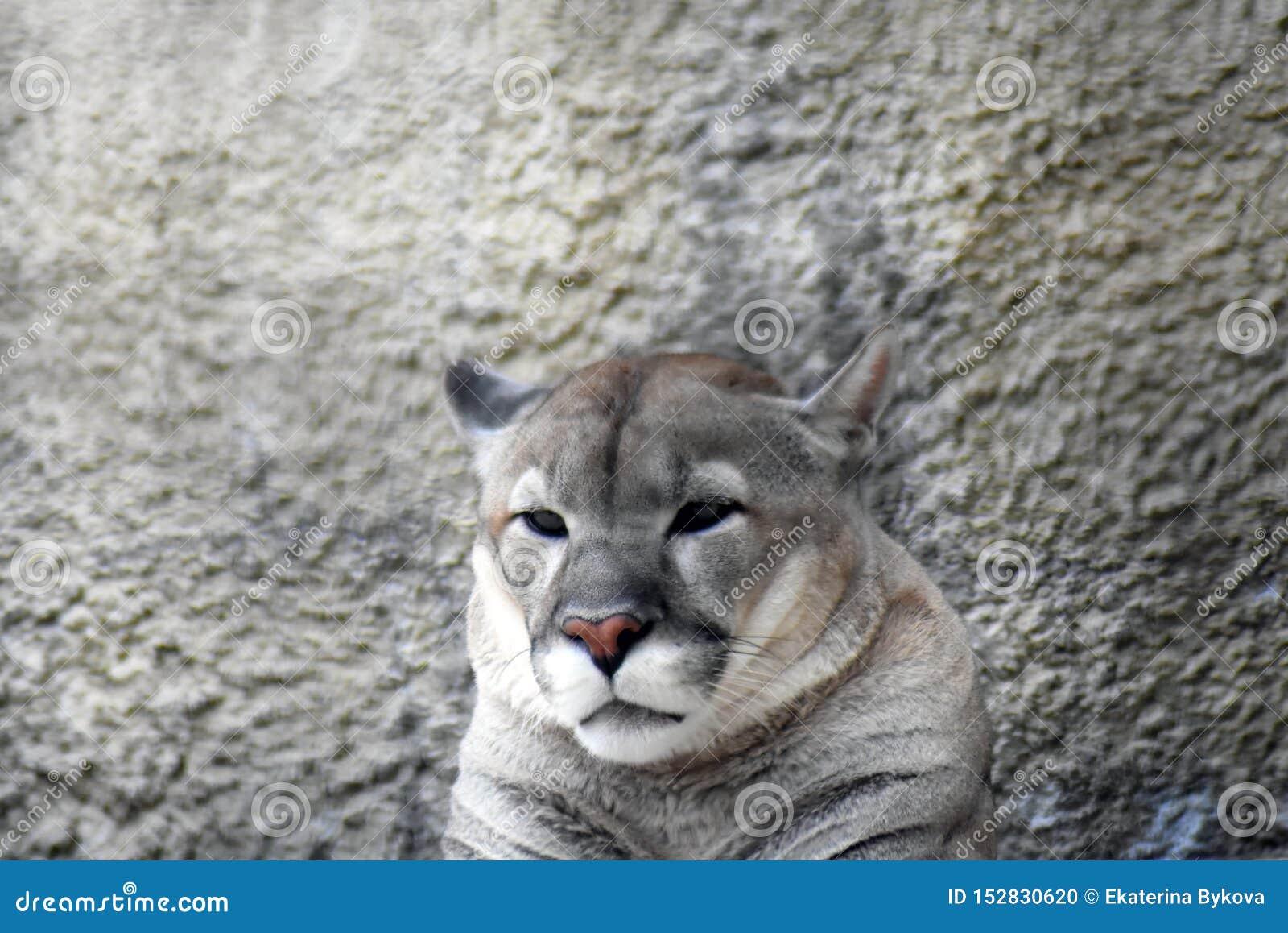Puma animal portrait at grey stone wall background.