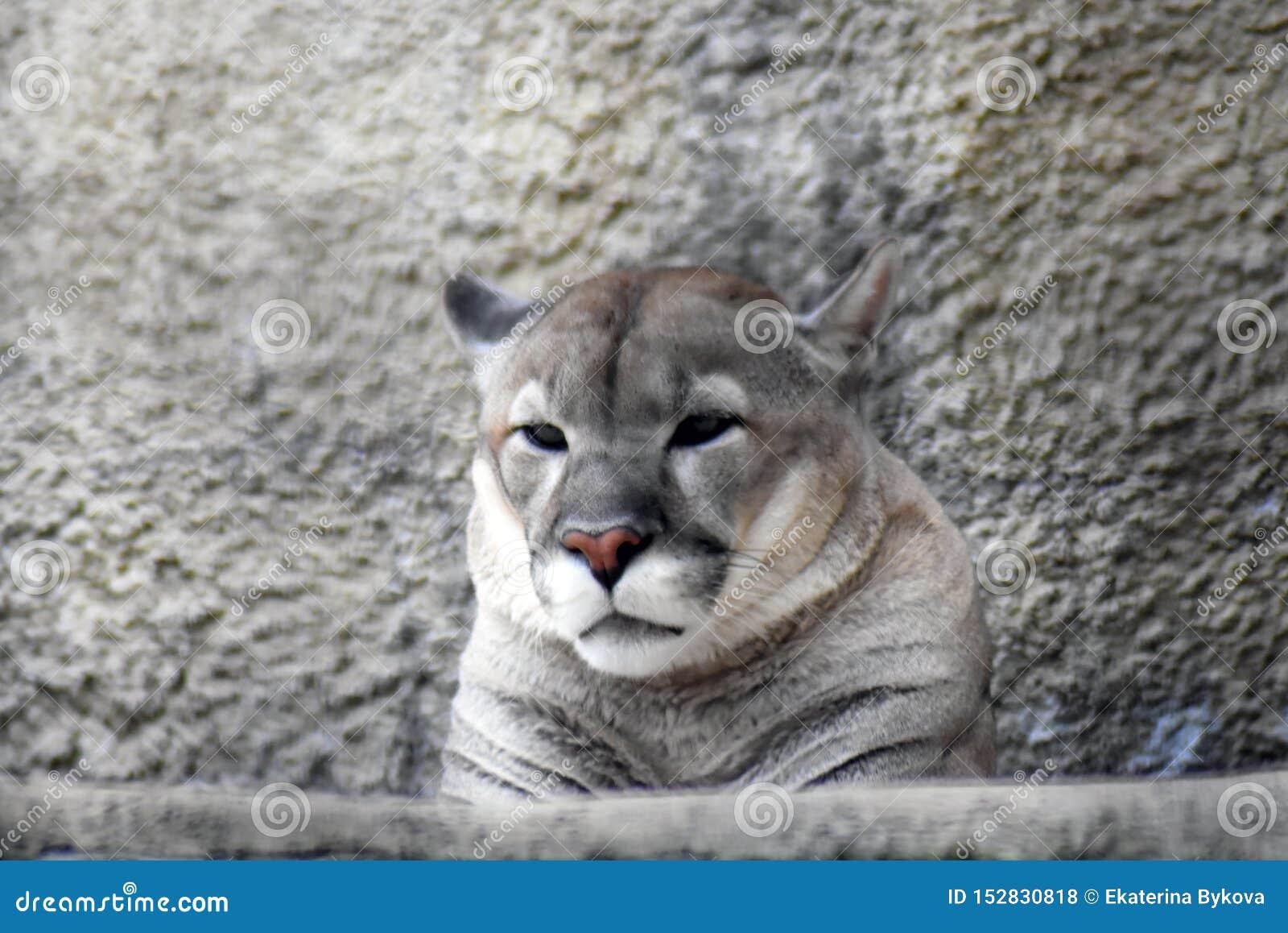 cien Evaluable seguridad  Puma Animal Portrait At Grey Stone Wall Background. Stock Photo - Image of  angry, catamount: 152830818