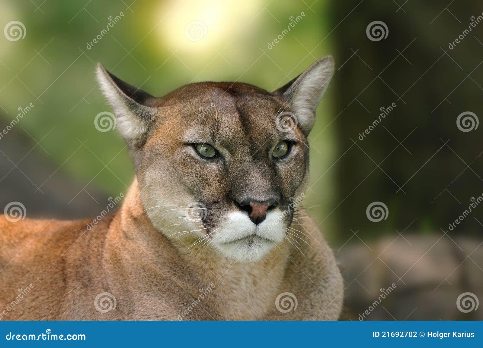 Puma (concolor do puma)