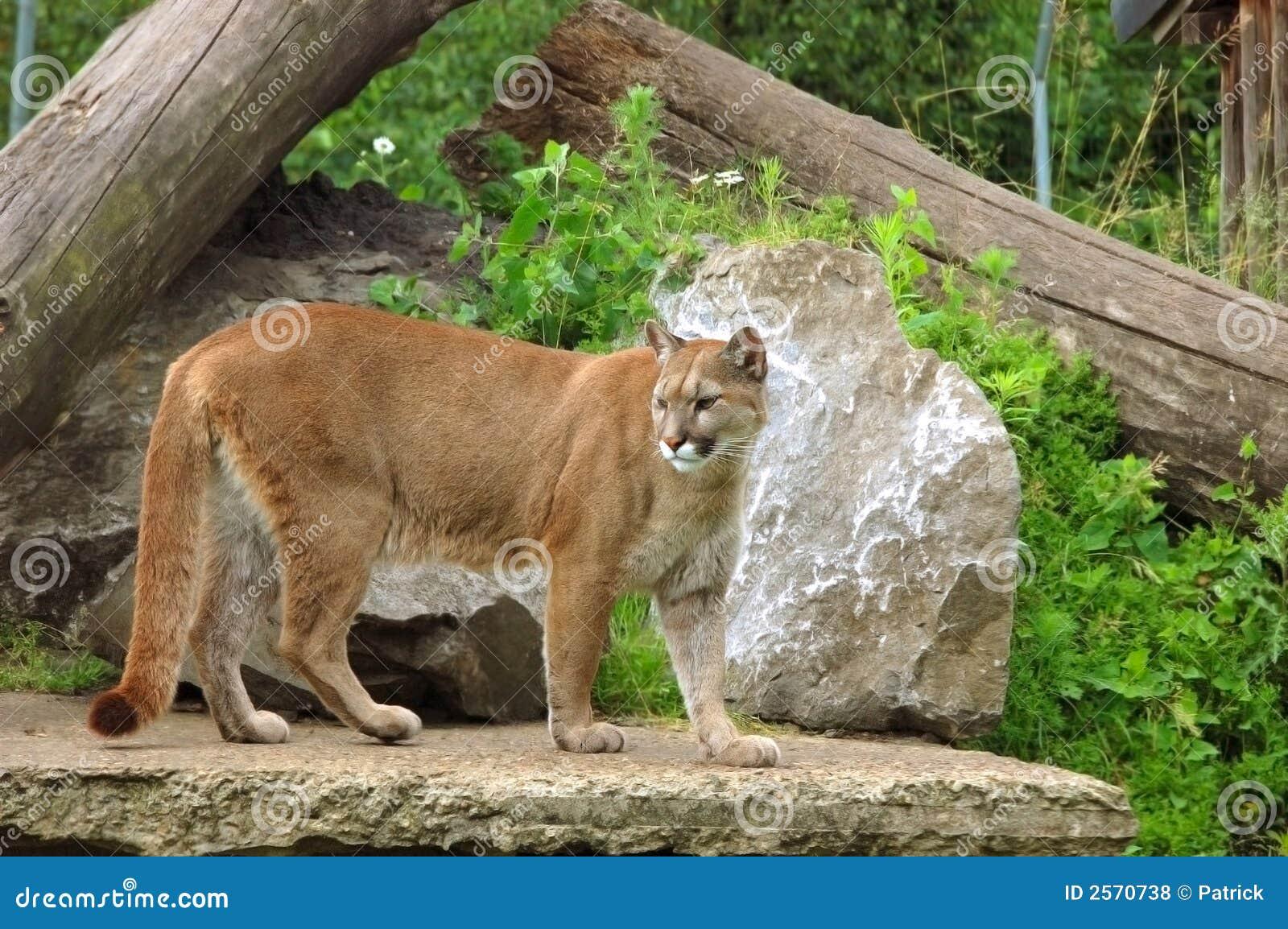Puma Cougar Stock Photo Image Of Mountain Felis