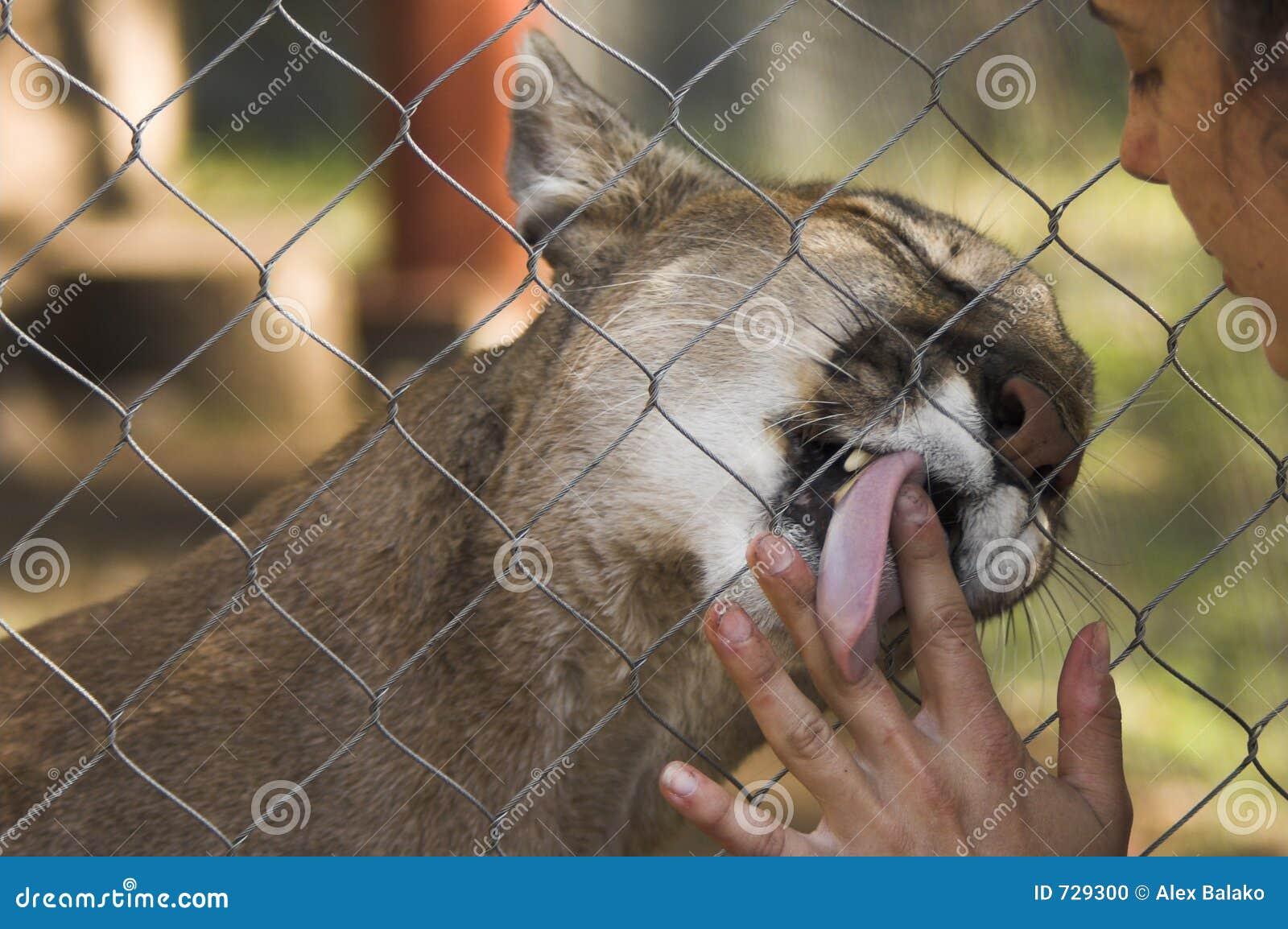Puma dans la cage